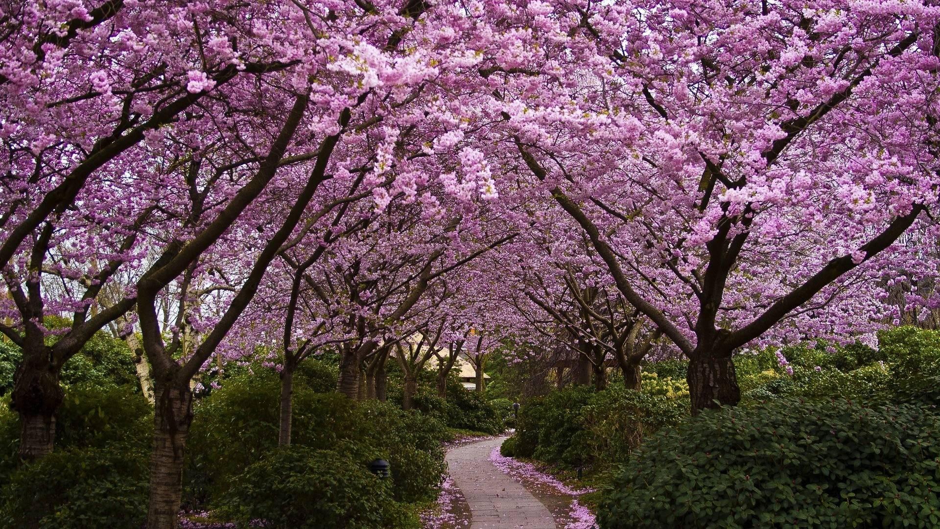 White Cherry Blossom Wallpaper | Wallpaper Download