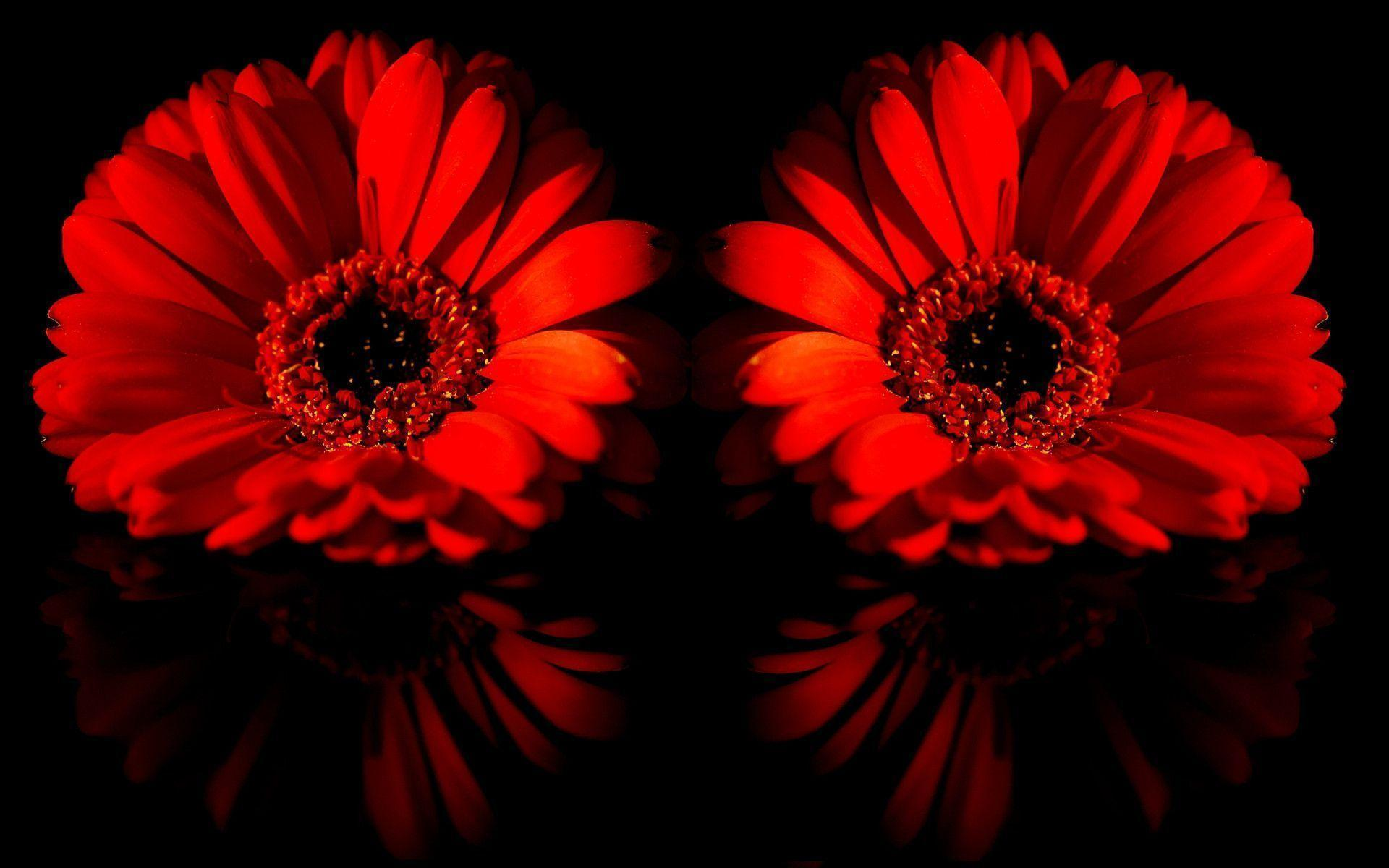 red daisy flower hd - photo #17