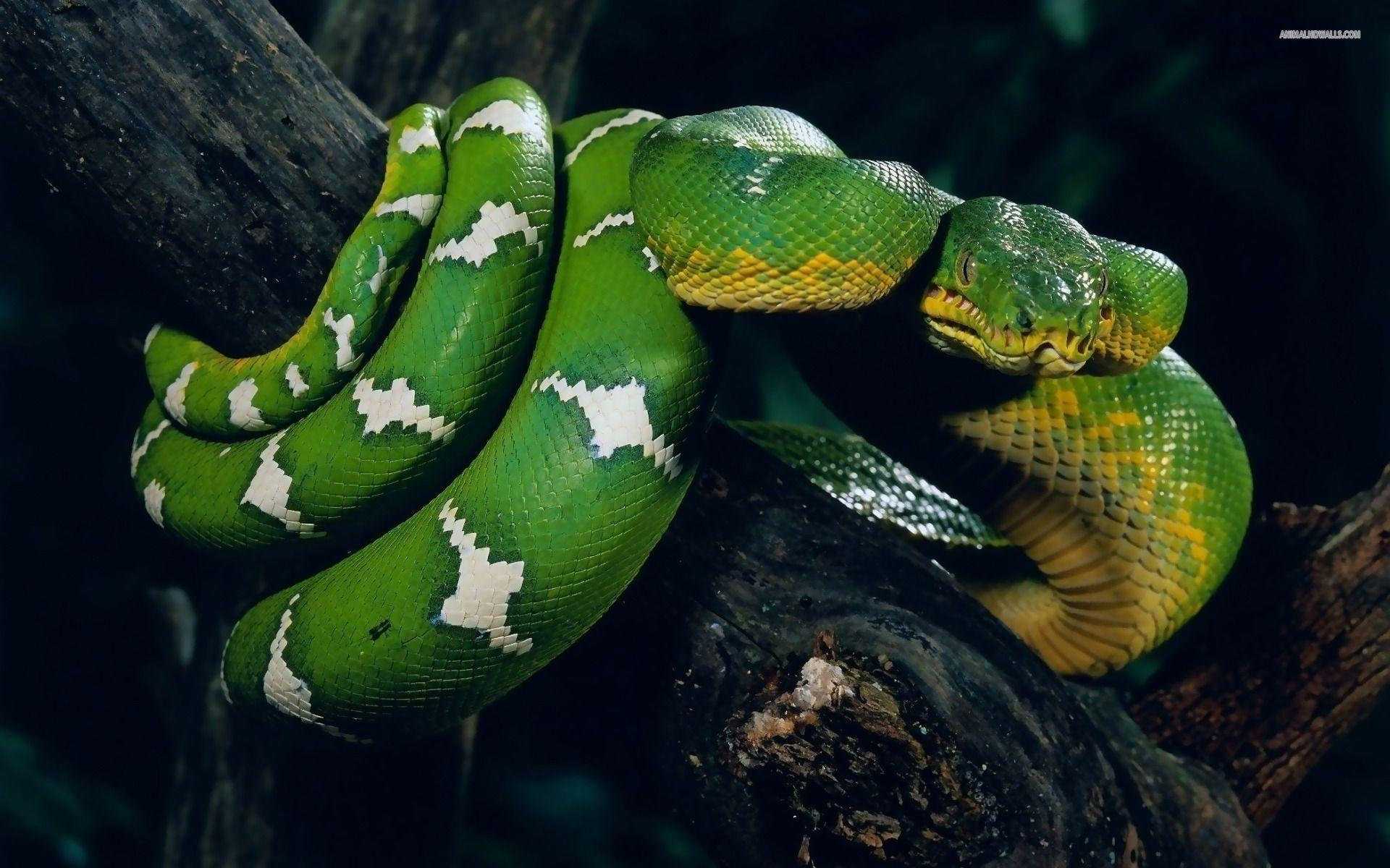 Snake Wallpapers: Different Family Type Of Sna