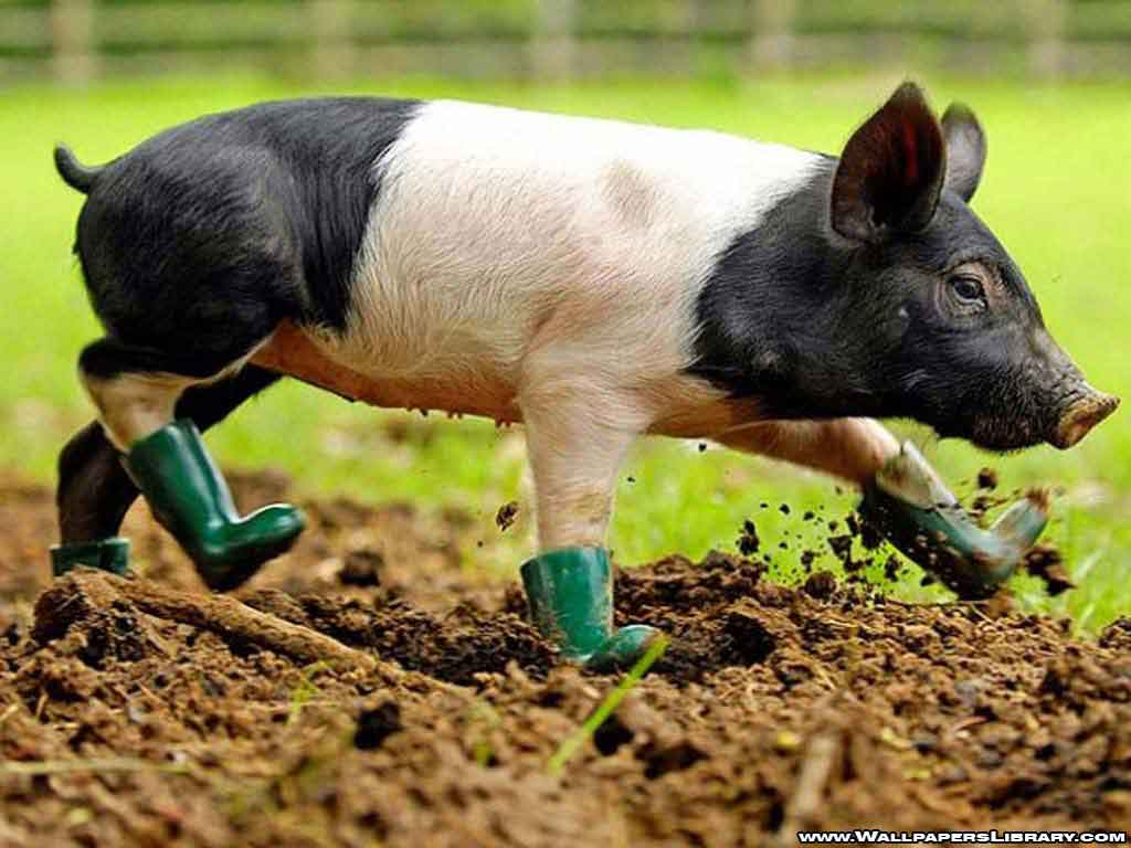 Baby Pig Wallpaper 22968 Hd Wallpapers In Animals