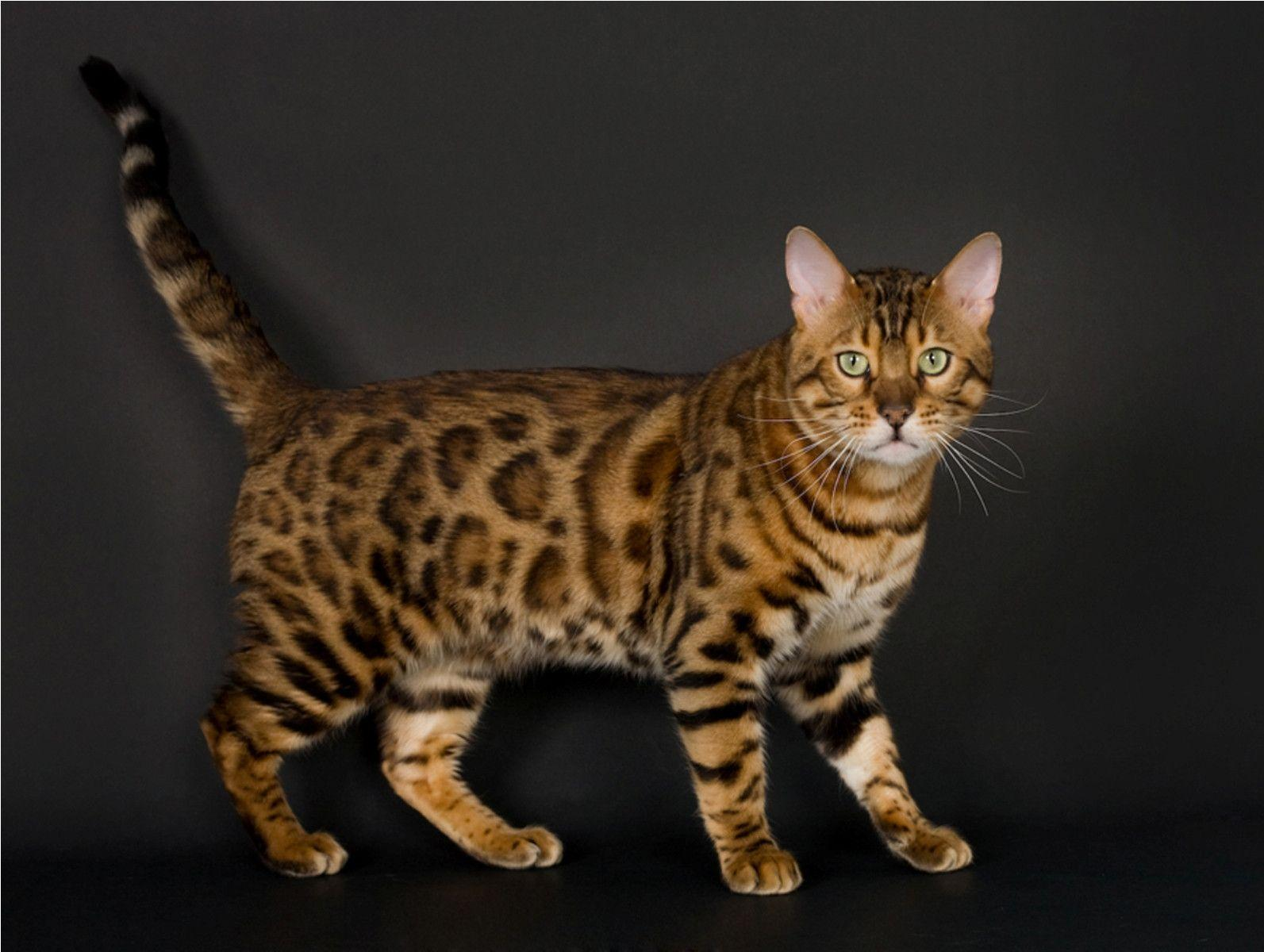 Bengal Cat Wallpapers - Wallpaper Cave