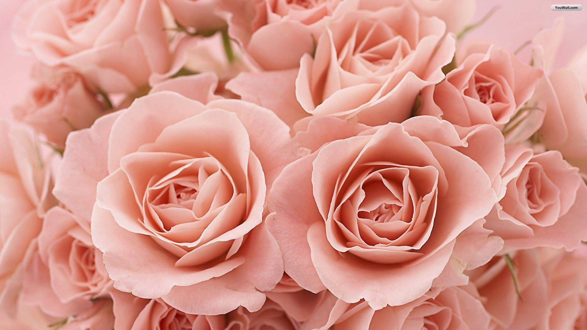 Pink Roses Wallpaper | Wallpaper Color