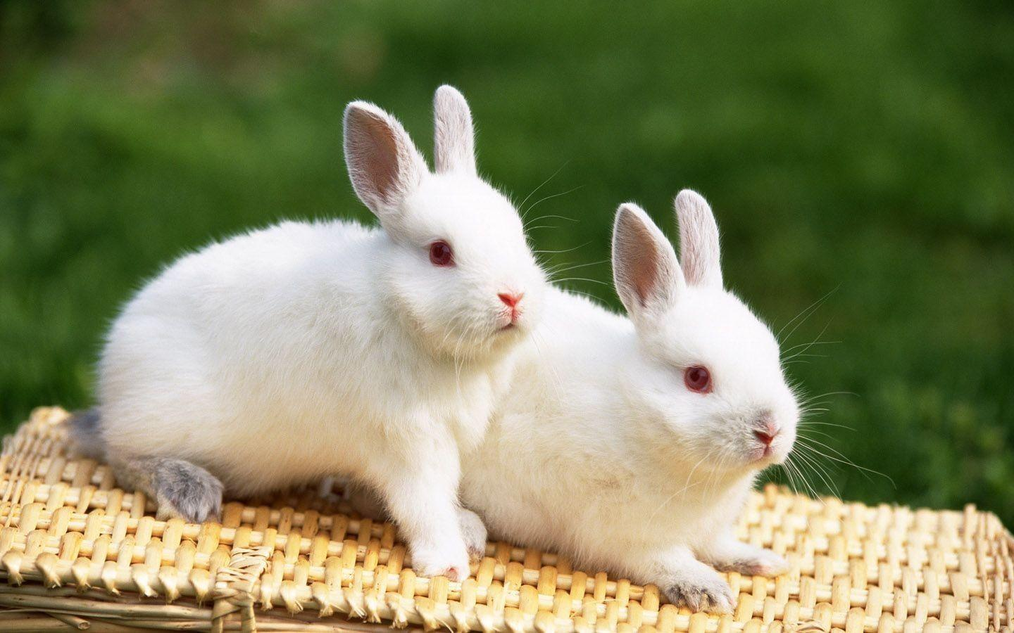 cute white Rabbit hd wallpapers - HD Wallpapers