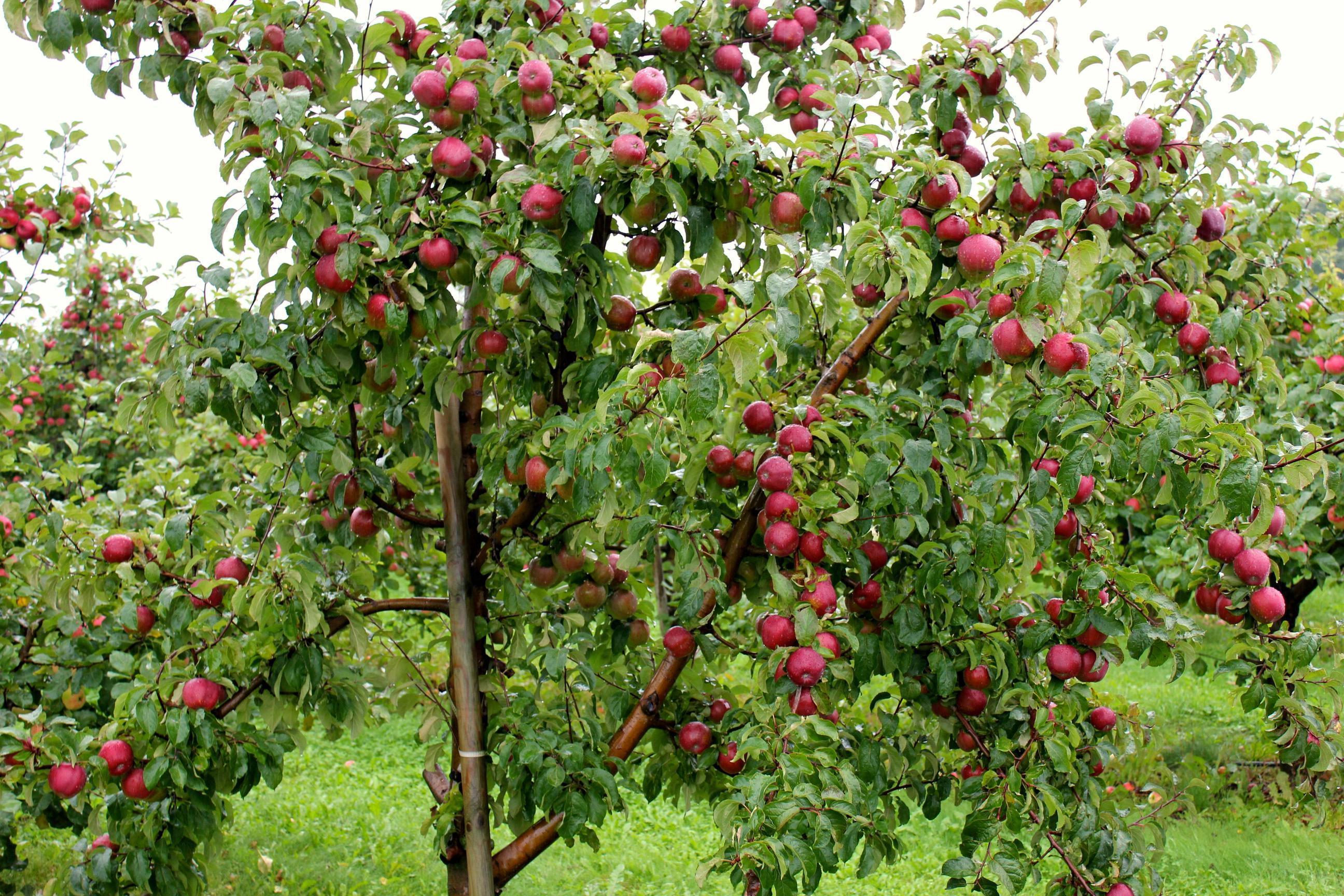 Apple Tree Wallpapers - Wallpaper Cave