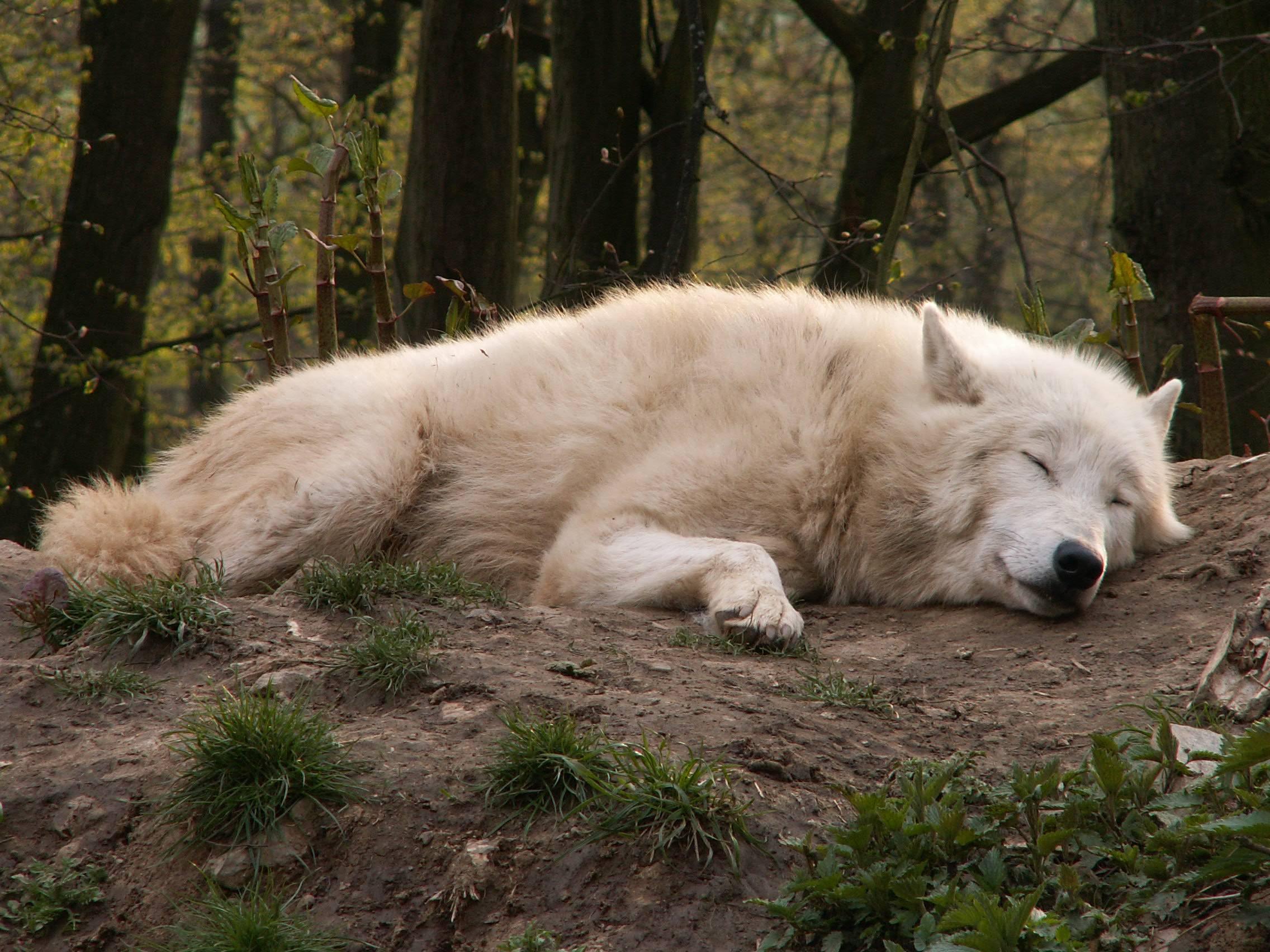 сонный волк картинки конкурс лес