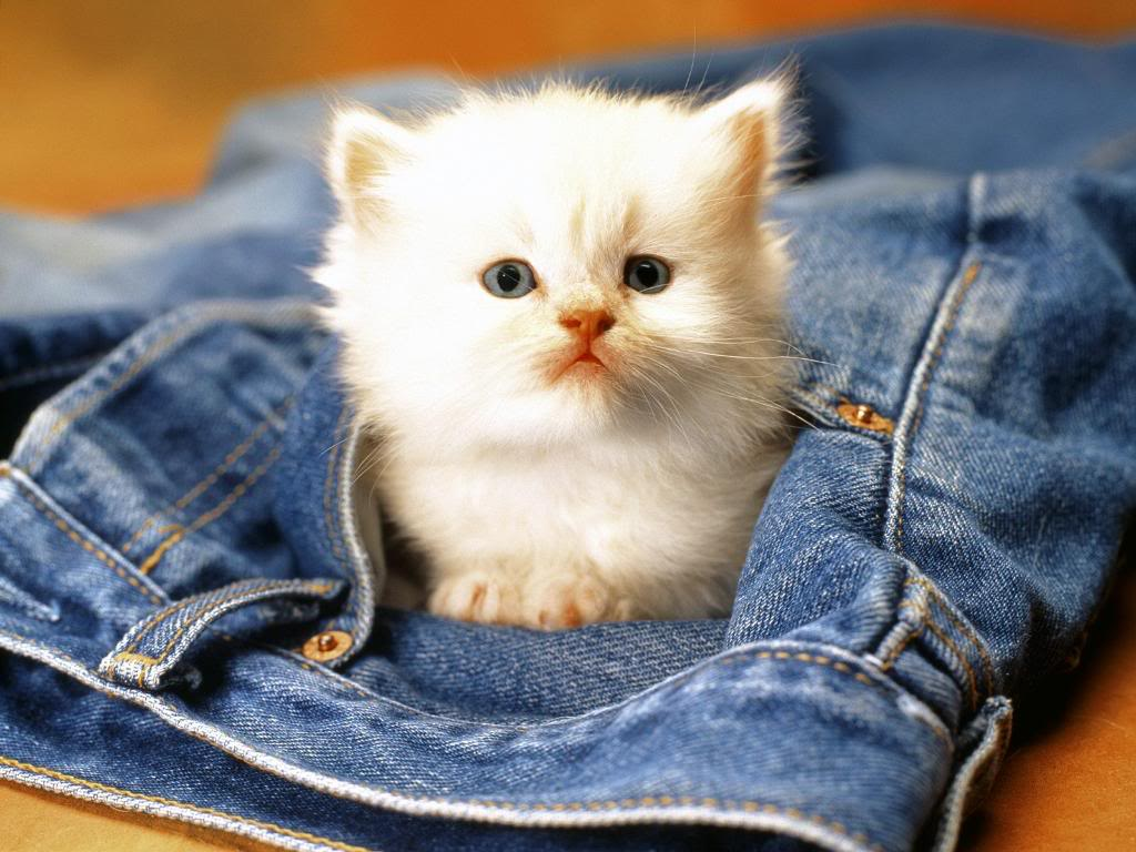 Cute White Kitten Wallpaper IPhone Facebook Cover