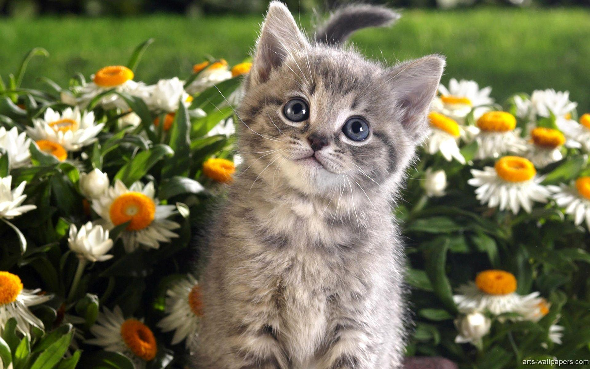 Kitten Wallpapers - HD Wallpapers Inn