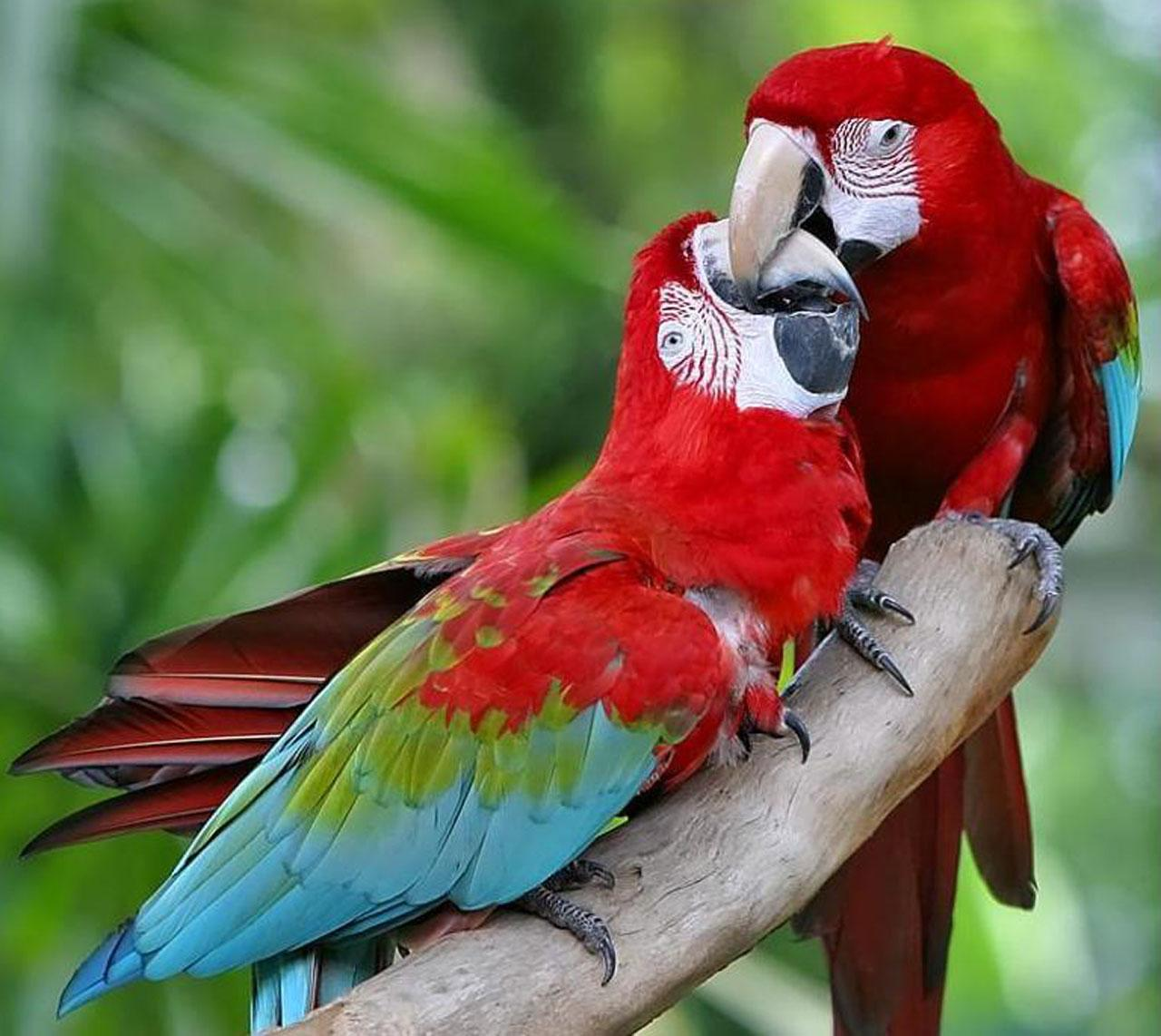 Free wallpaper Red and green Macaw parrots