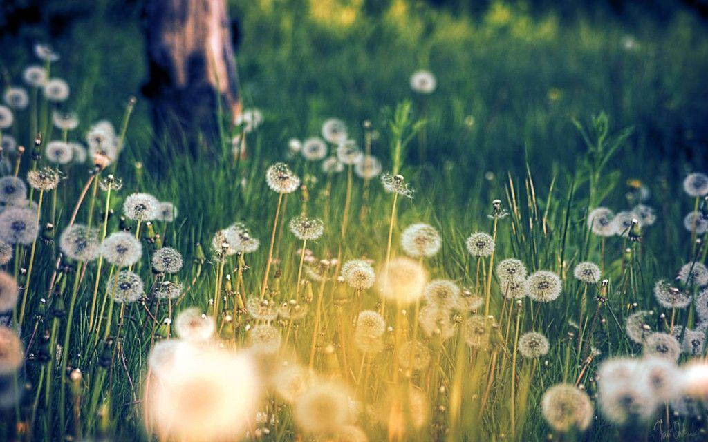 Dandelion Park Wallpapers Free Download 4126 Wallpapers