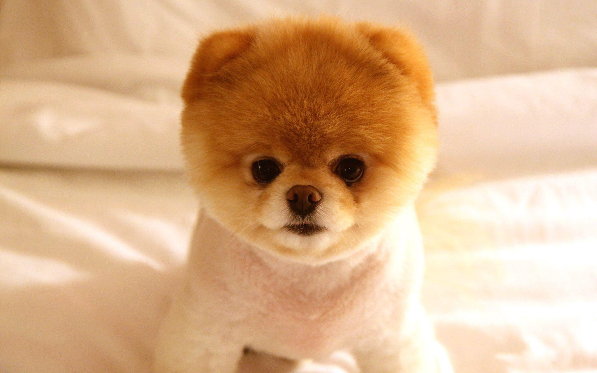 Cute Dog Boo Wallpapers | HD Wallpapers