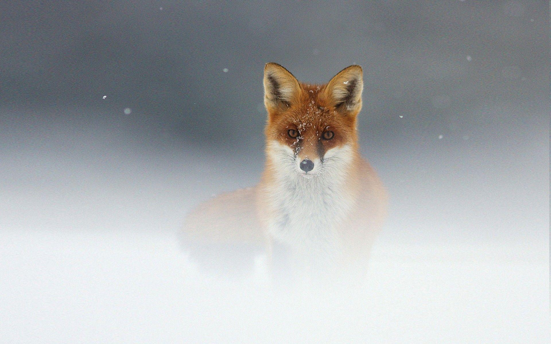 Animals Fox Orange Wallpaper Animal Wallpapers: Red Fox Wallpapers