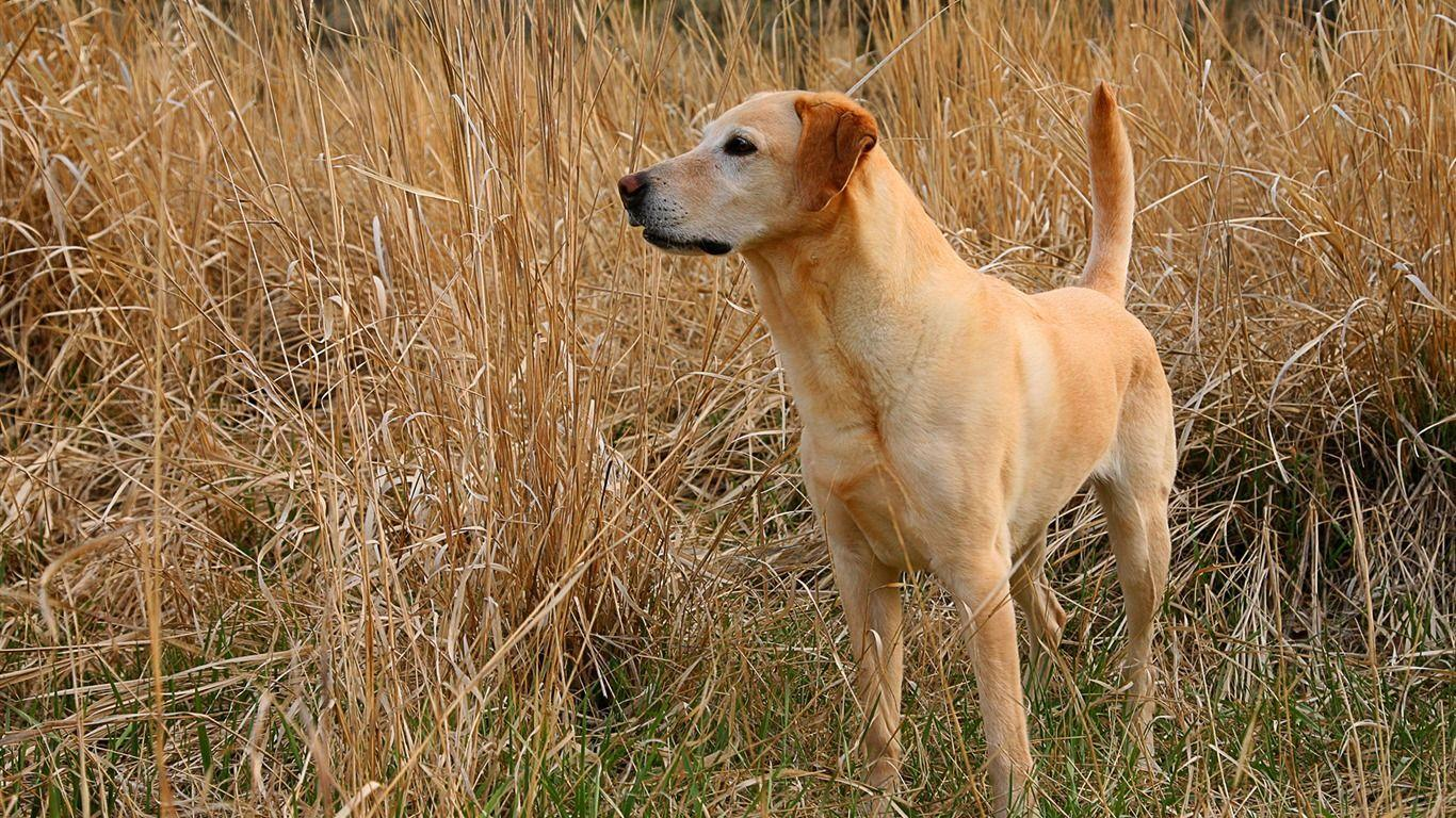 Kodie Labrador Wallpaper - 1366x768 wallpaper download -