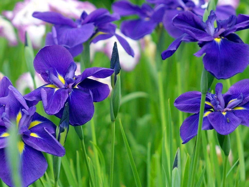 Iris wallpapers wallpaper cave blue iris flowers flower meanings pictures and photos izmirmasajfo