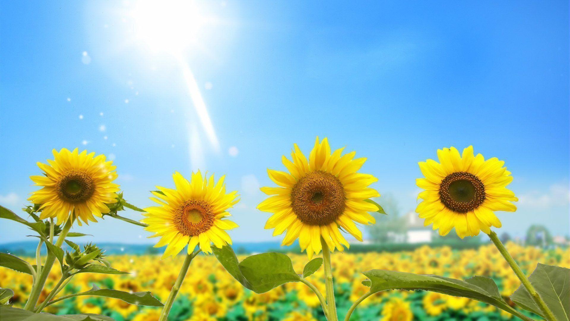 Sunflower Wallpaper Android Apps on Google Play
