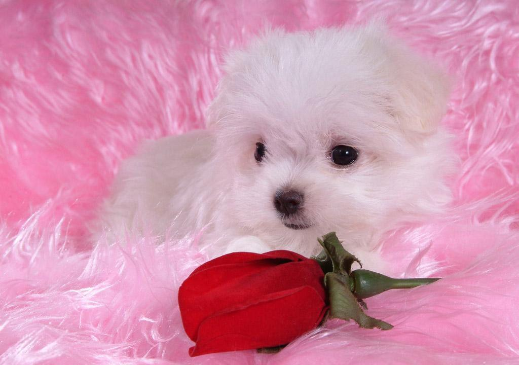 Cute puppy wallpaper wallpapers for free download about