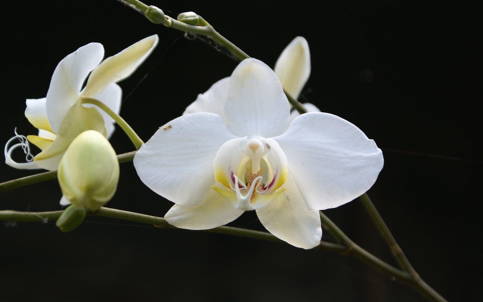 White Orchid Desktop Wallpaper