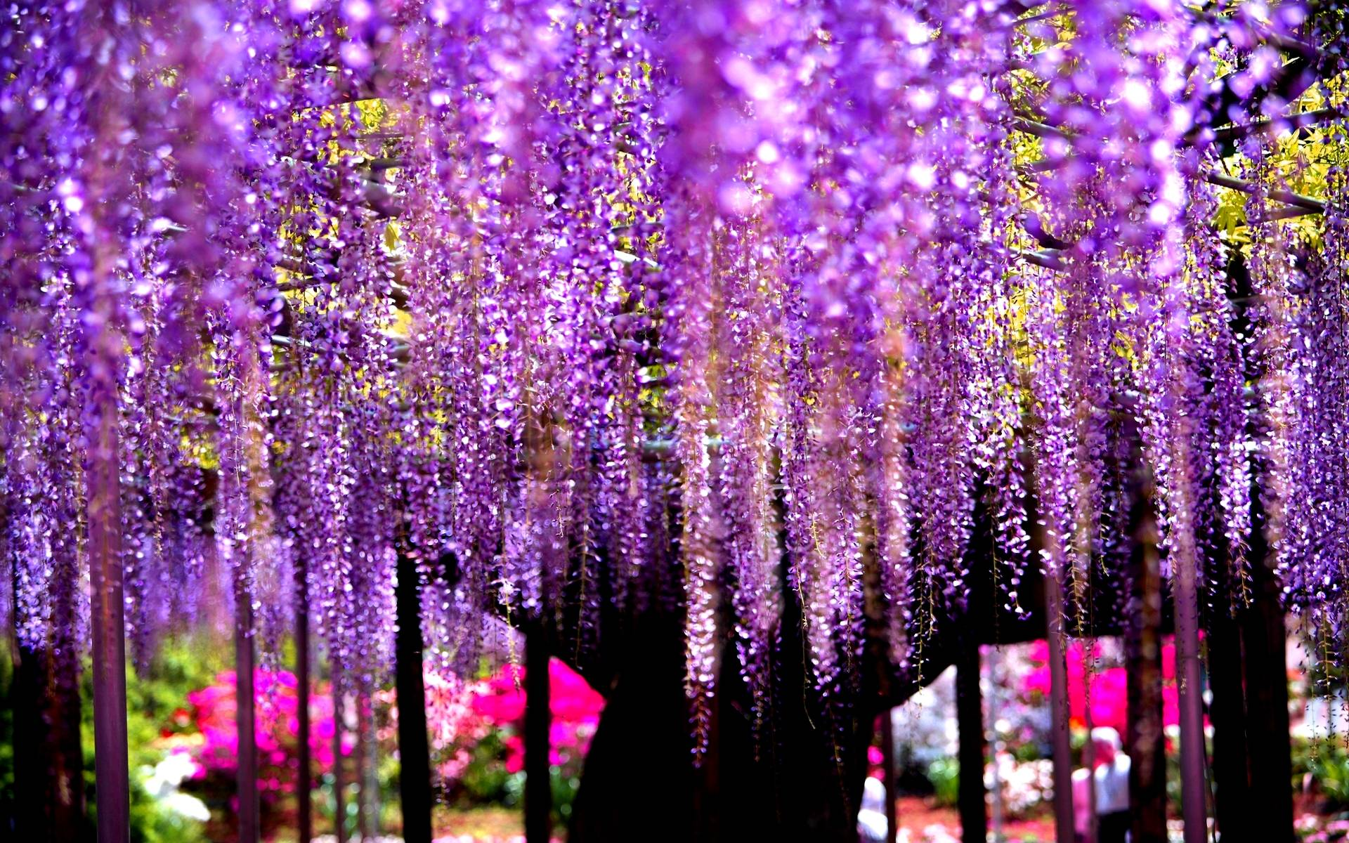 Wisteria wallpapers wallpaper cave for Immagini apple hd