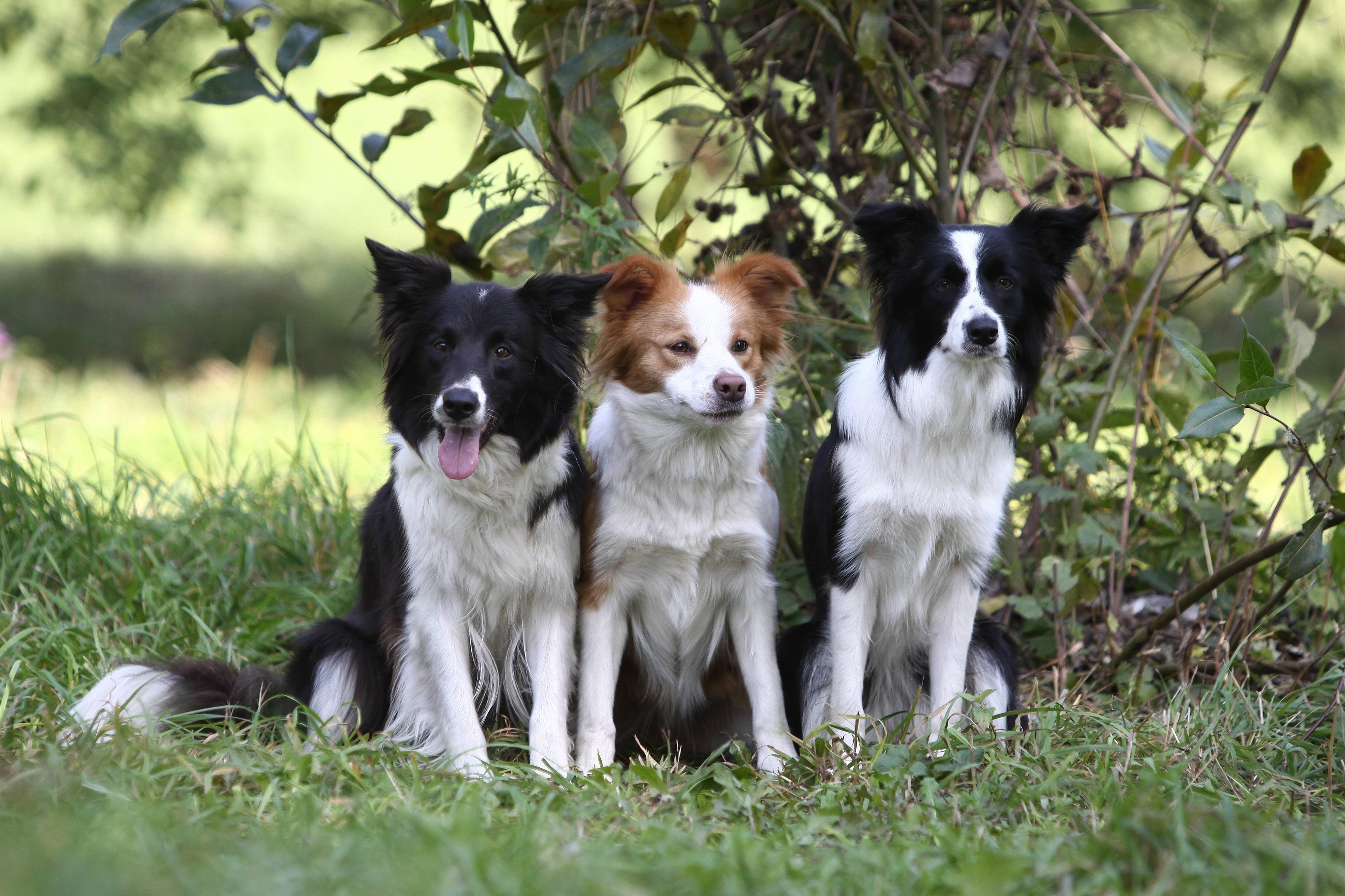 border collie wallpapers wallpaper cavedownload wallpaper dog, puppy, border collie free desktop