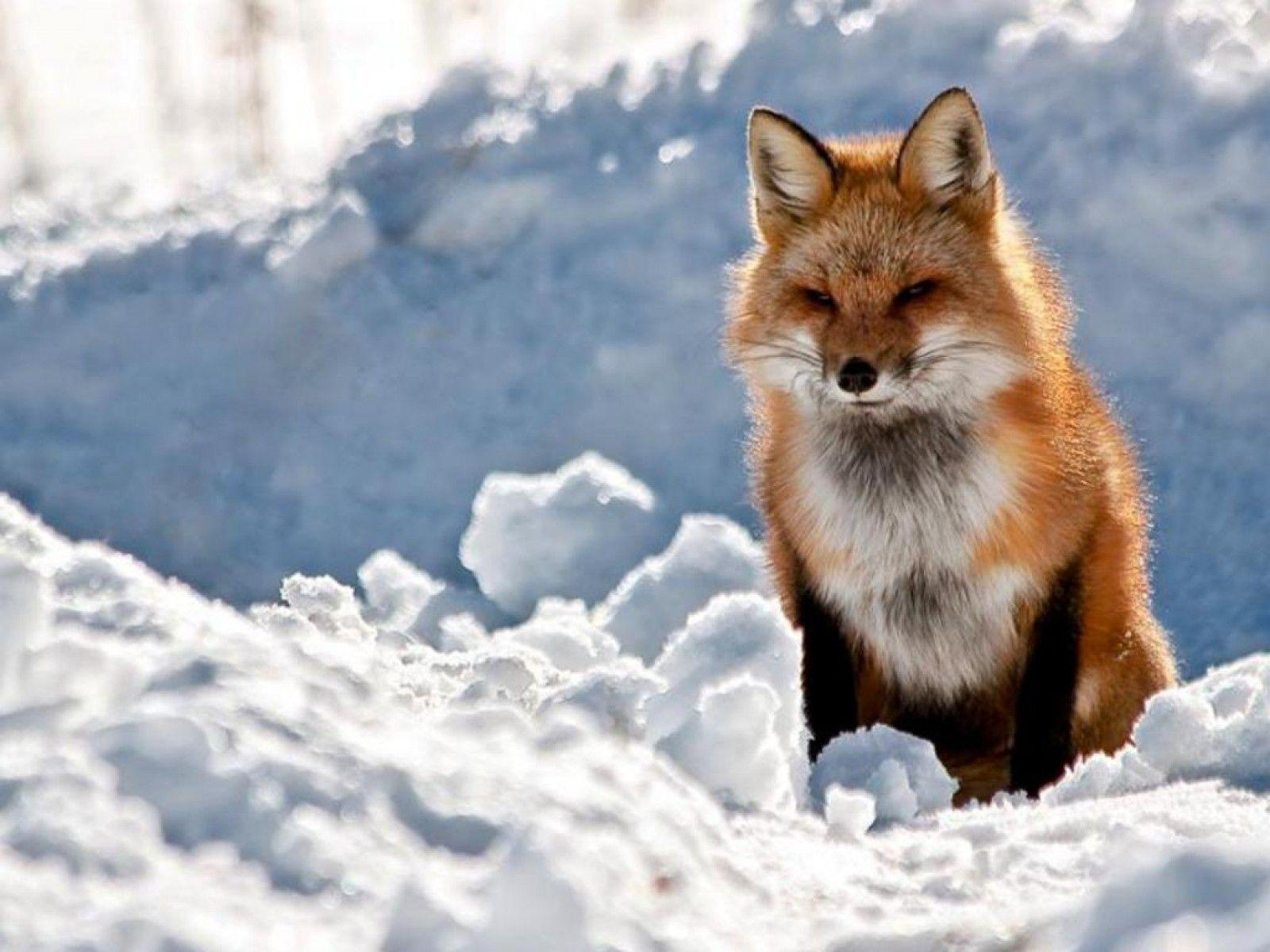THE RED FOX Wallpaper - Animal Backgrounds