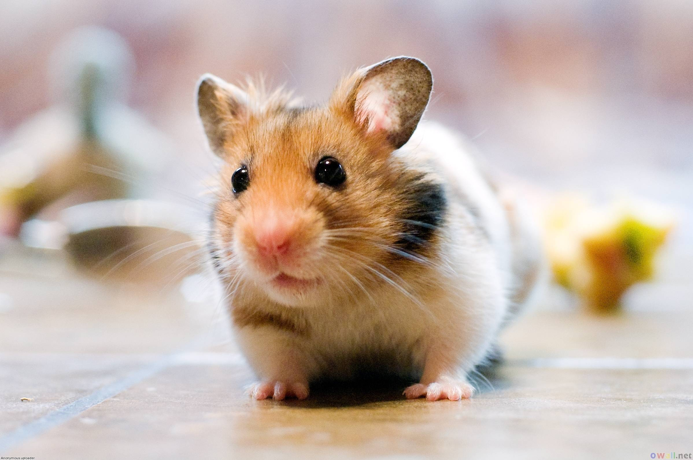 Http Wallpapercave Com Cute Hamster Wallpaper