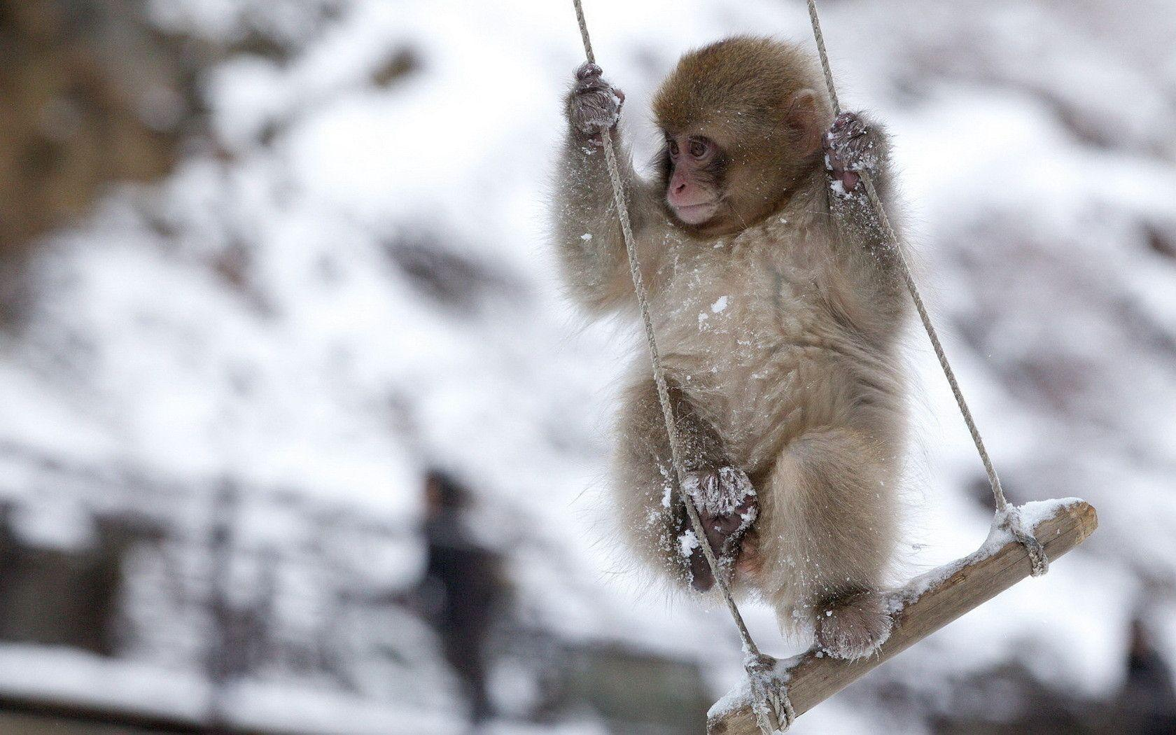 Monkey HD Wallpapers | Monkey Pictures Free Download | Cool Wallpapers
