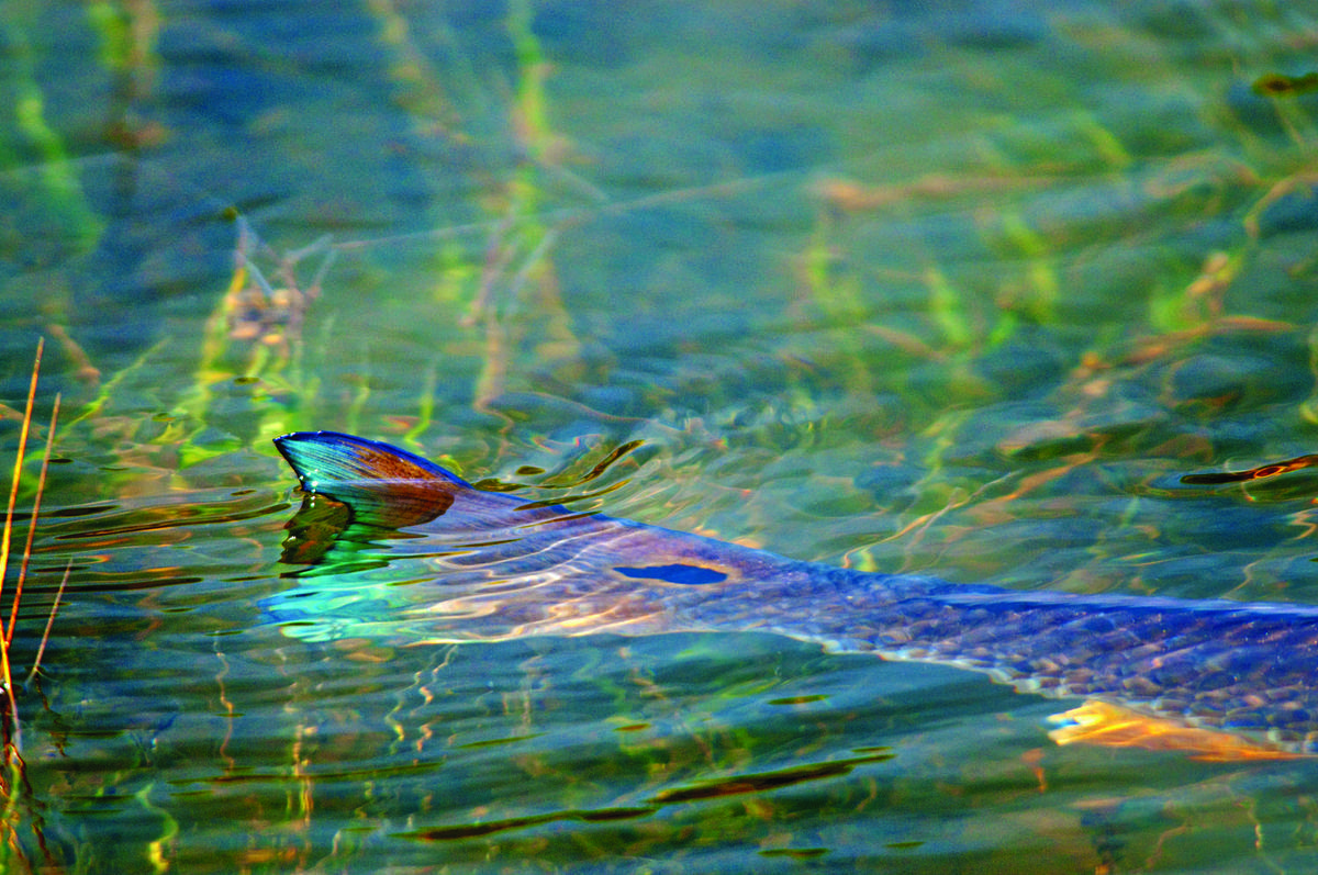 Wallpapers For > Redfish Tailing Wallpapers