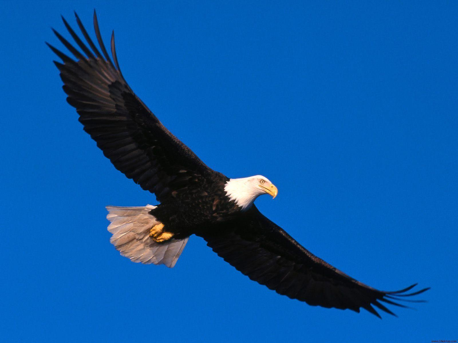 Bald Eagle Backgrounds Wallpapers Panda 1600x1200PX ~ Wallpapers