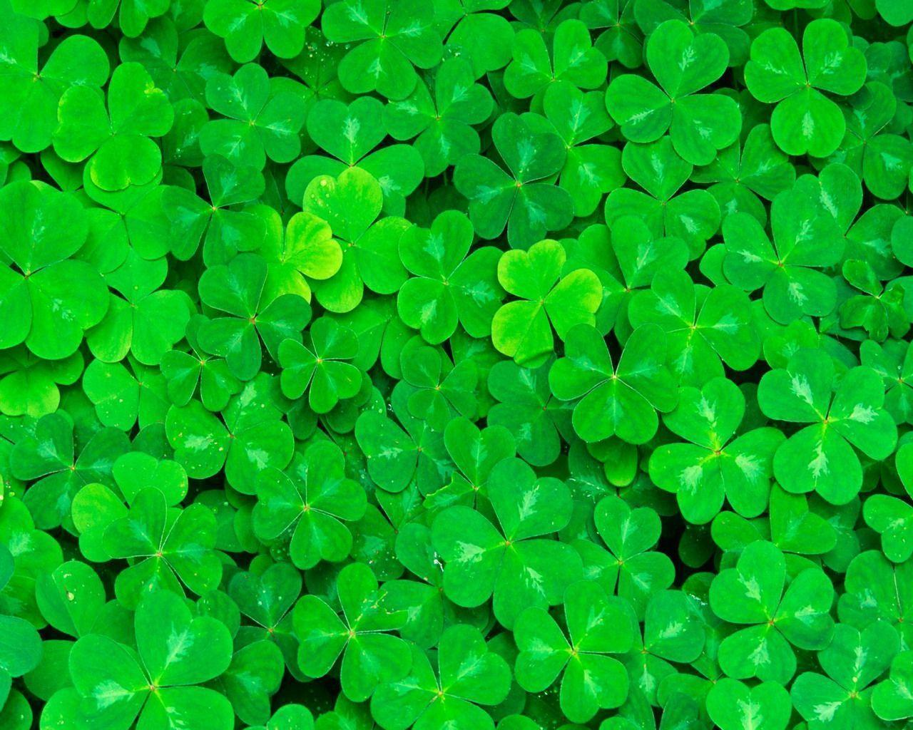 Wallpapers For > Irish Shamrock Wallpapers