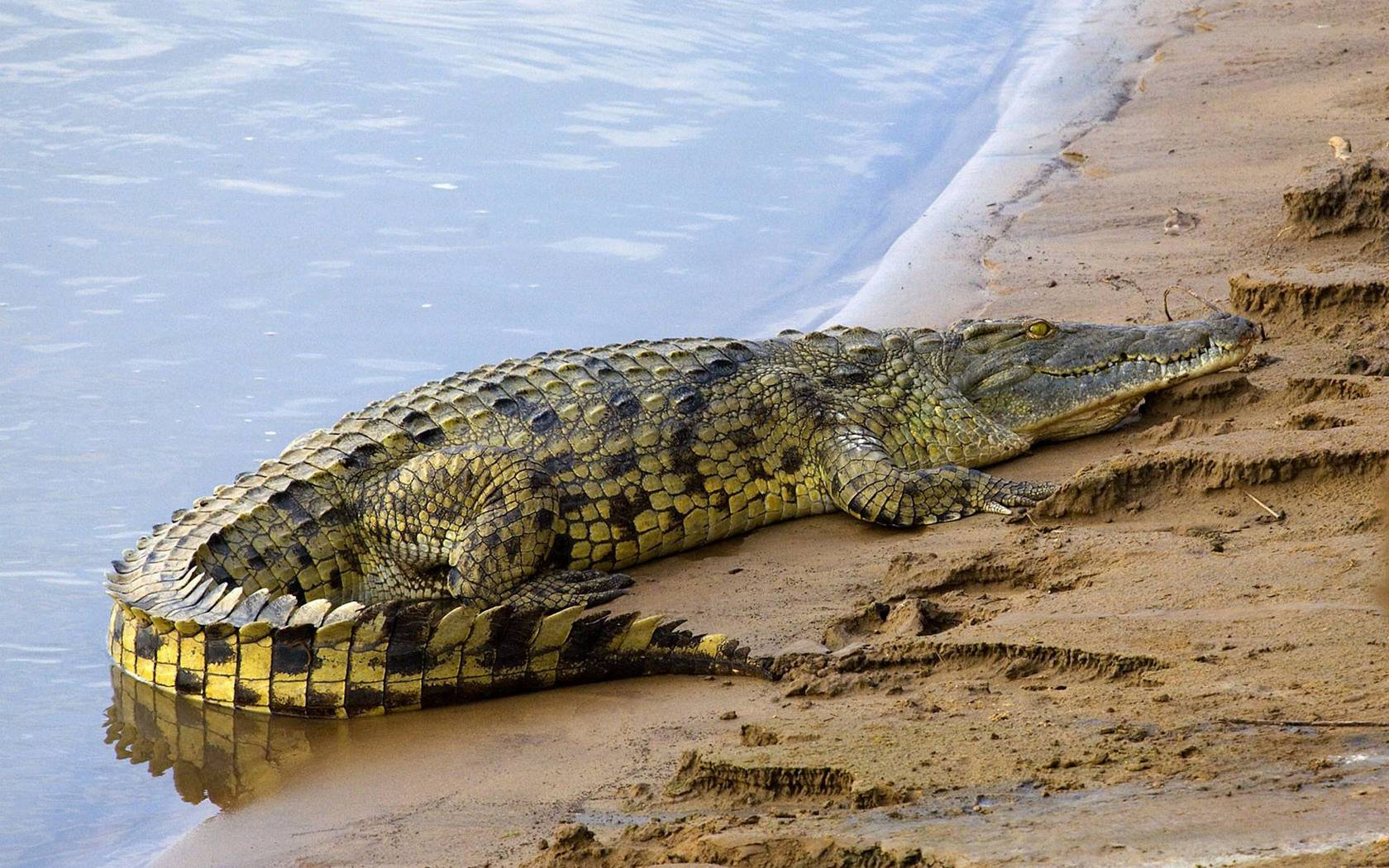Crocodile wallpaper - Animal-Lovers Picture
