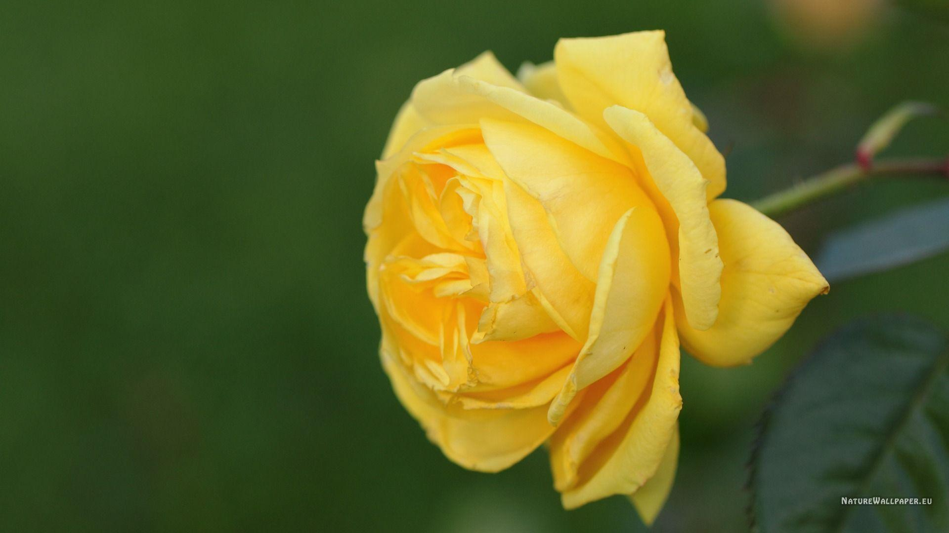 Yellow Roses Wallpapers Wallpaper Cave