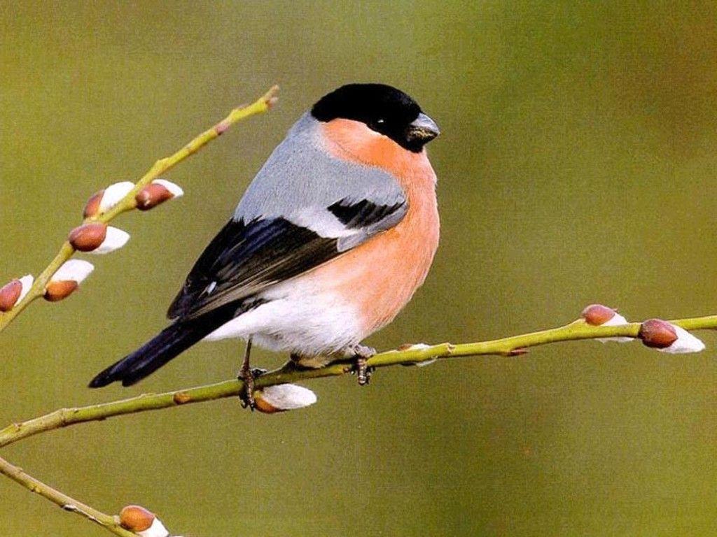Birds Wallpaper Images 1