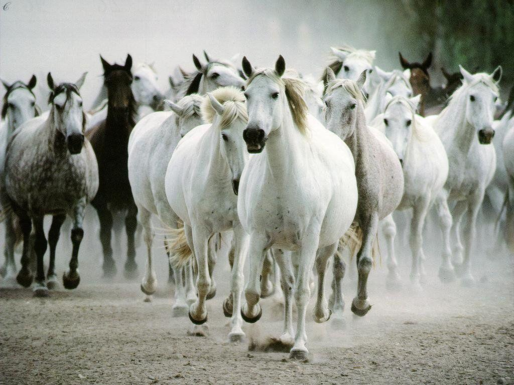 Horse White HD Wallpaper Android #844 Wallpaper computer | best ...
