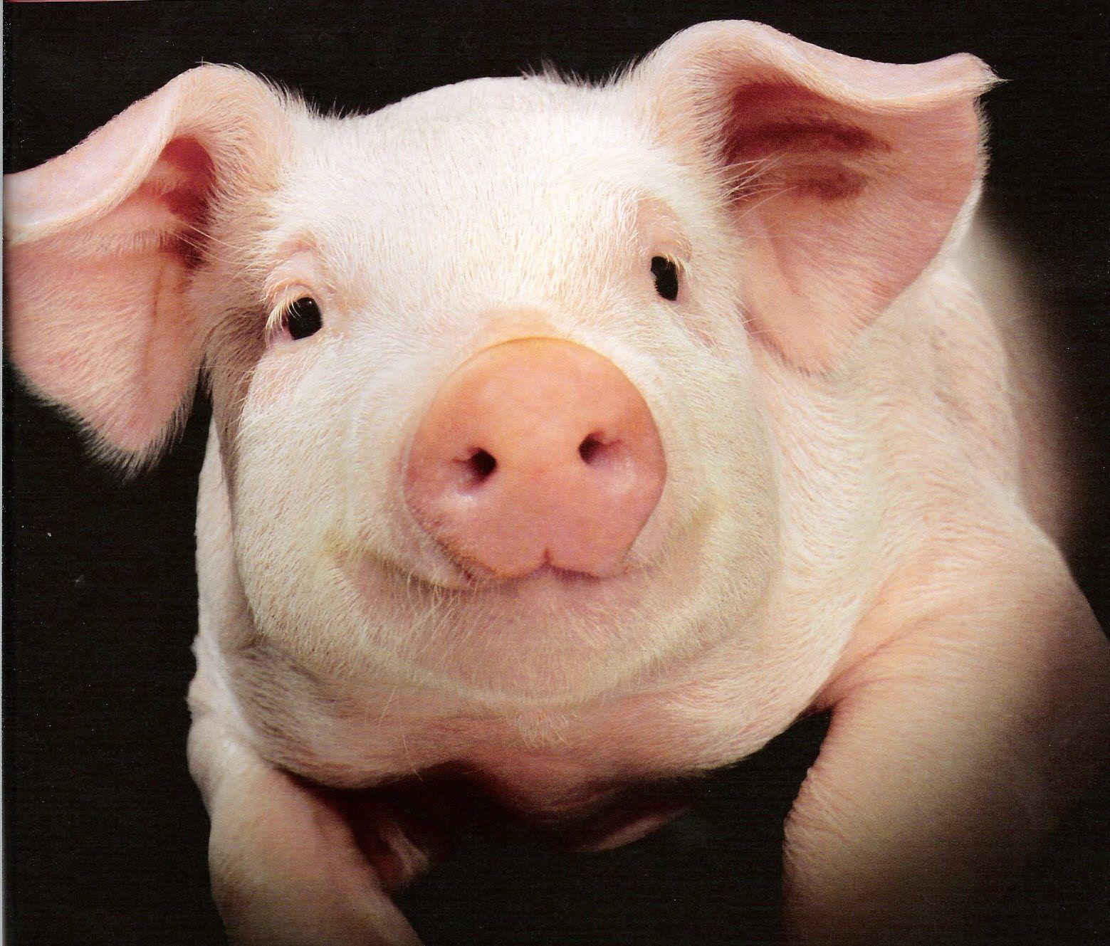 Pig Wallpaper Animal