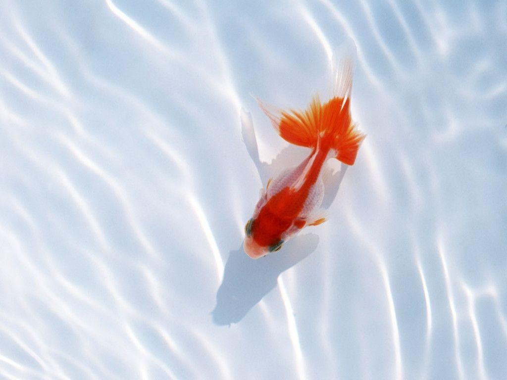 Image For > Redfish Wallpapers