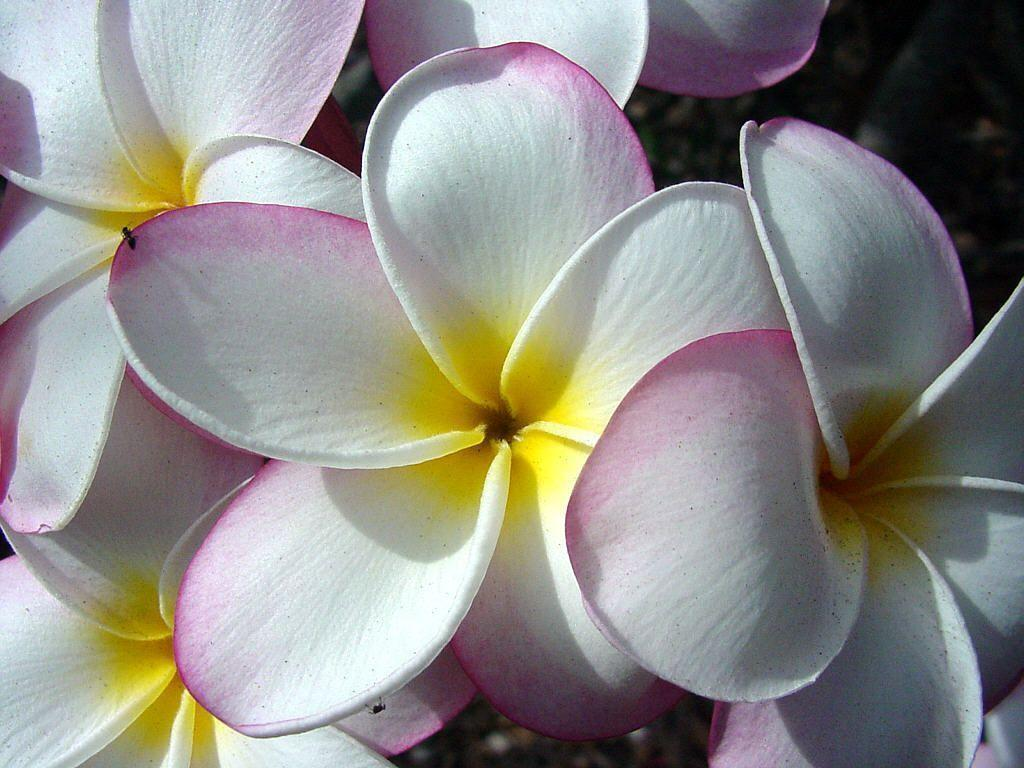 tropical flower wallpapers - photo #7