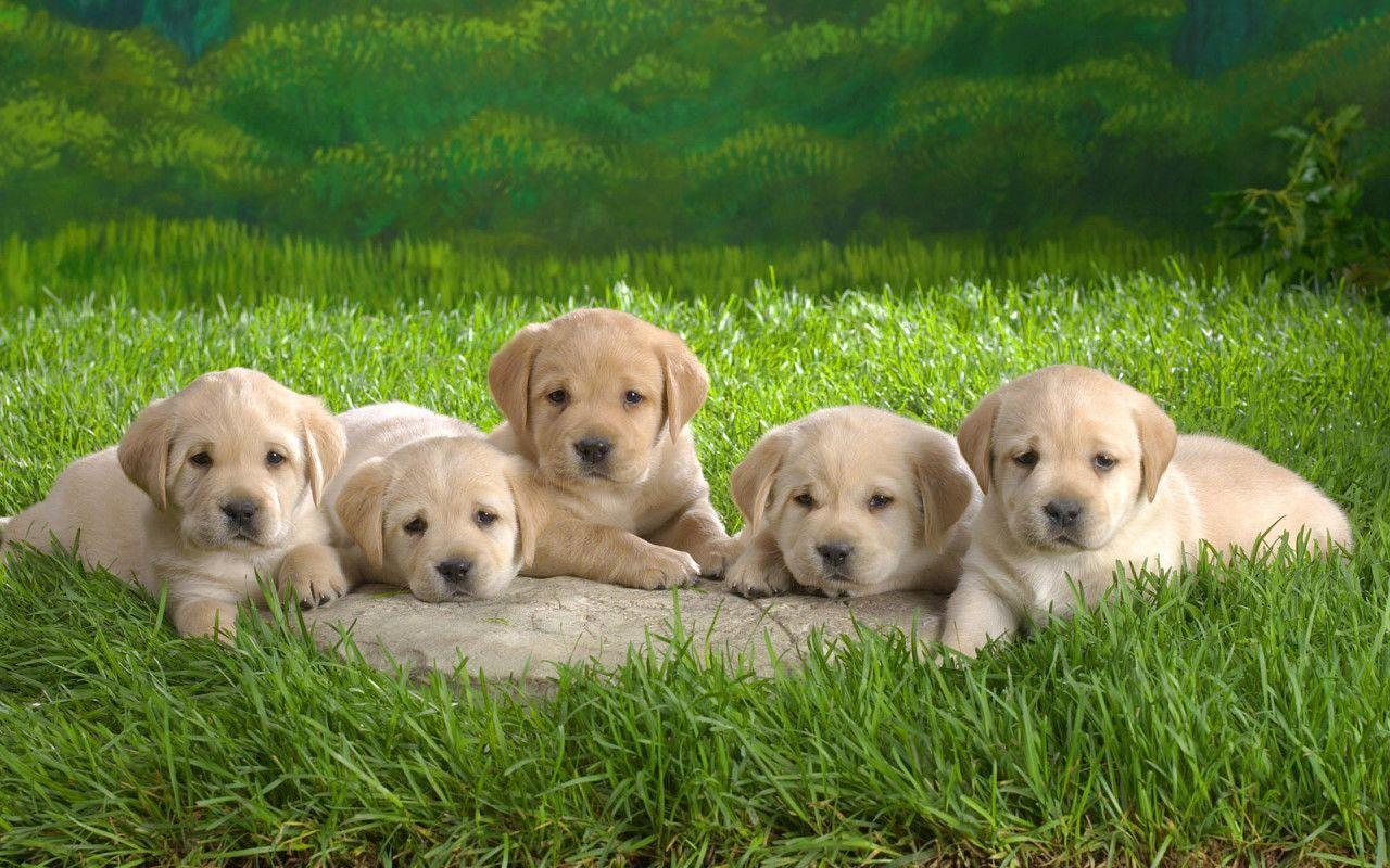 Wallpapers Gallery: Cute Pupies Wallpapers
