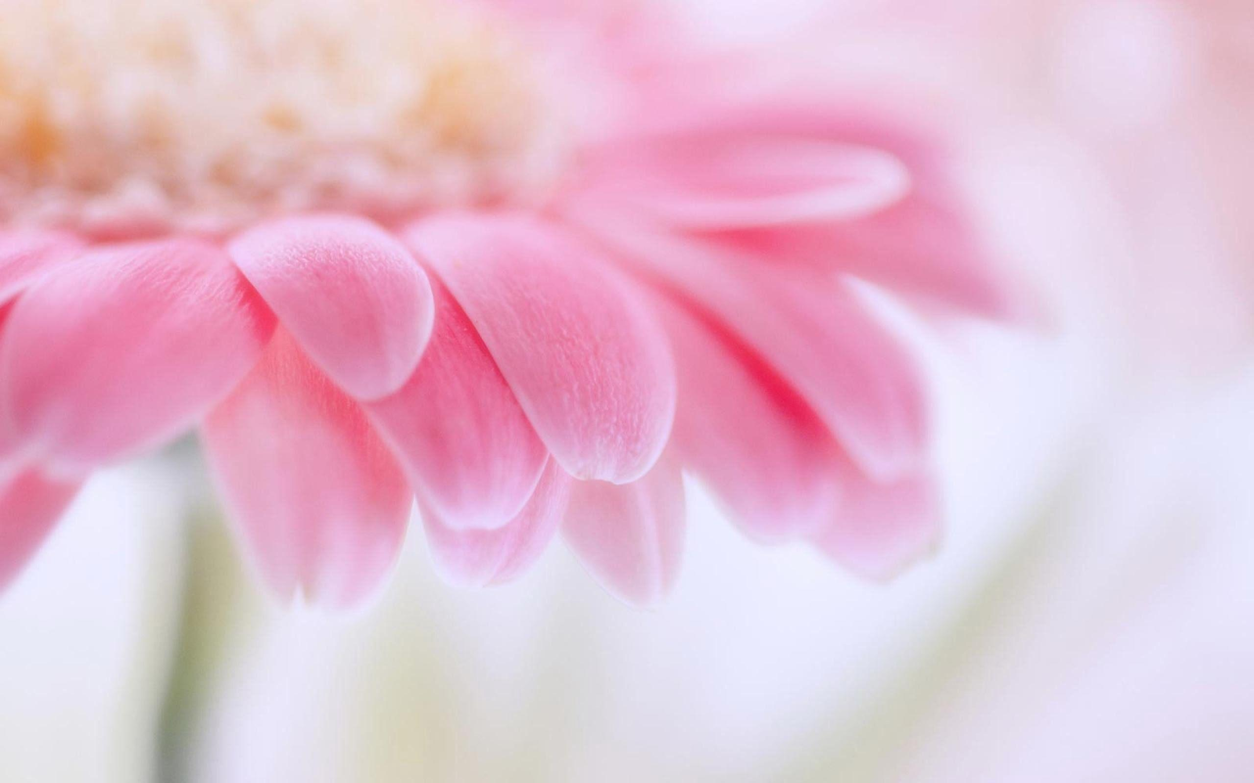 pink daisy backgrounds wallpaper cave