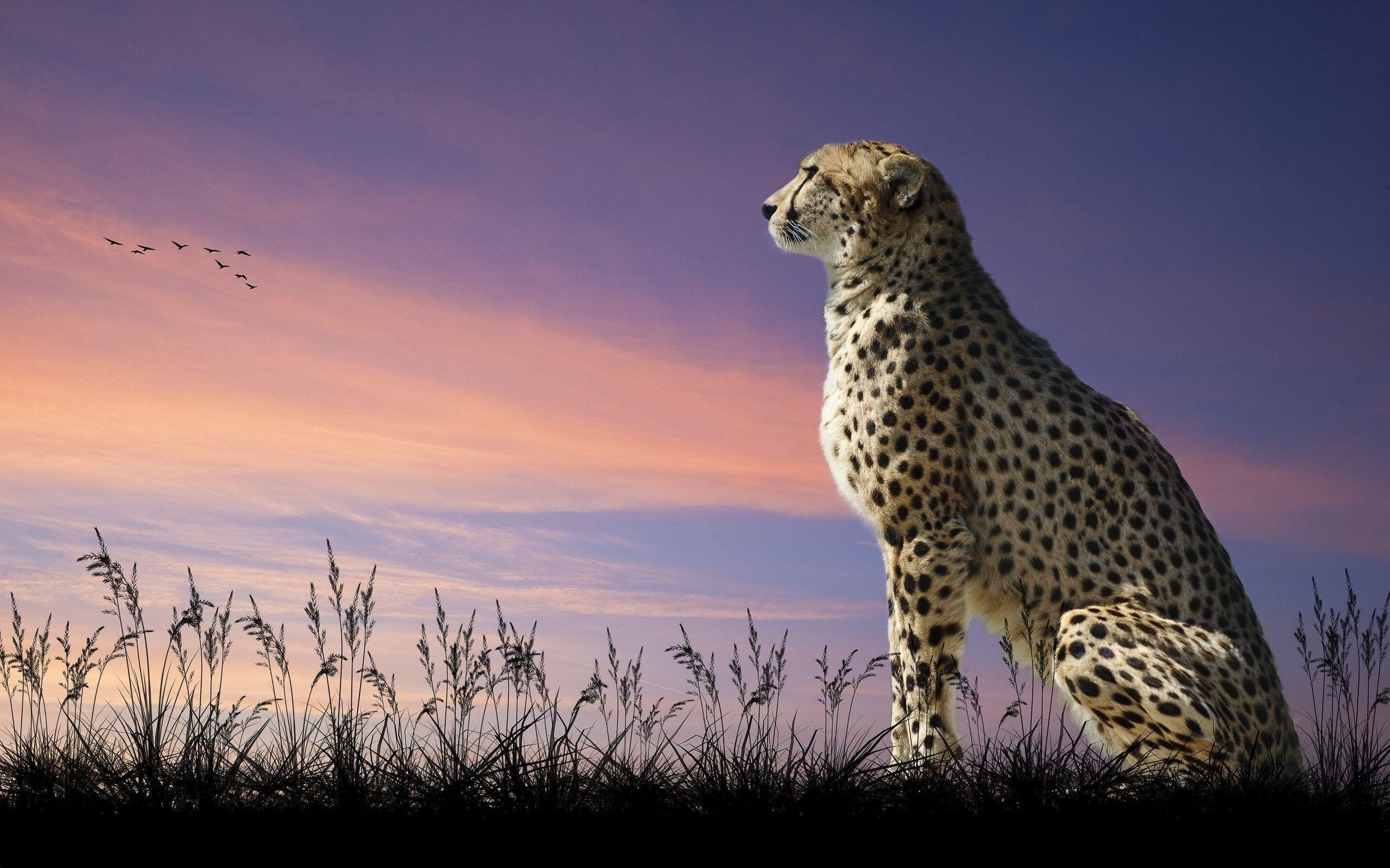 Cheetah wallpaper | 2560x1600 | 98339 | WallpaperUP