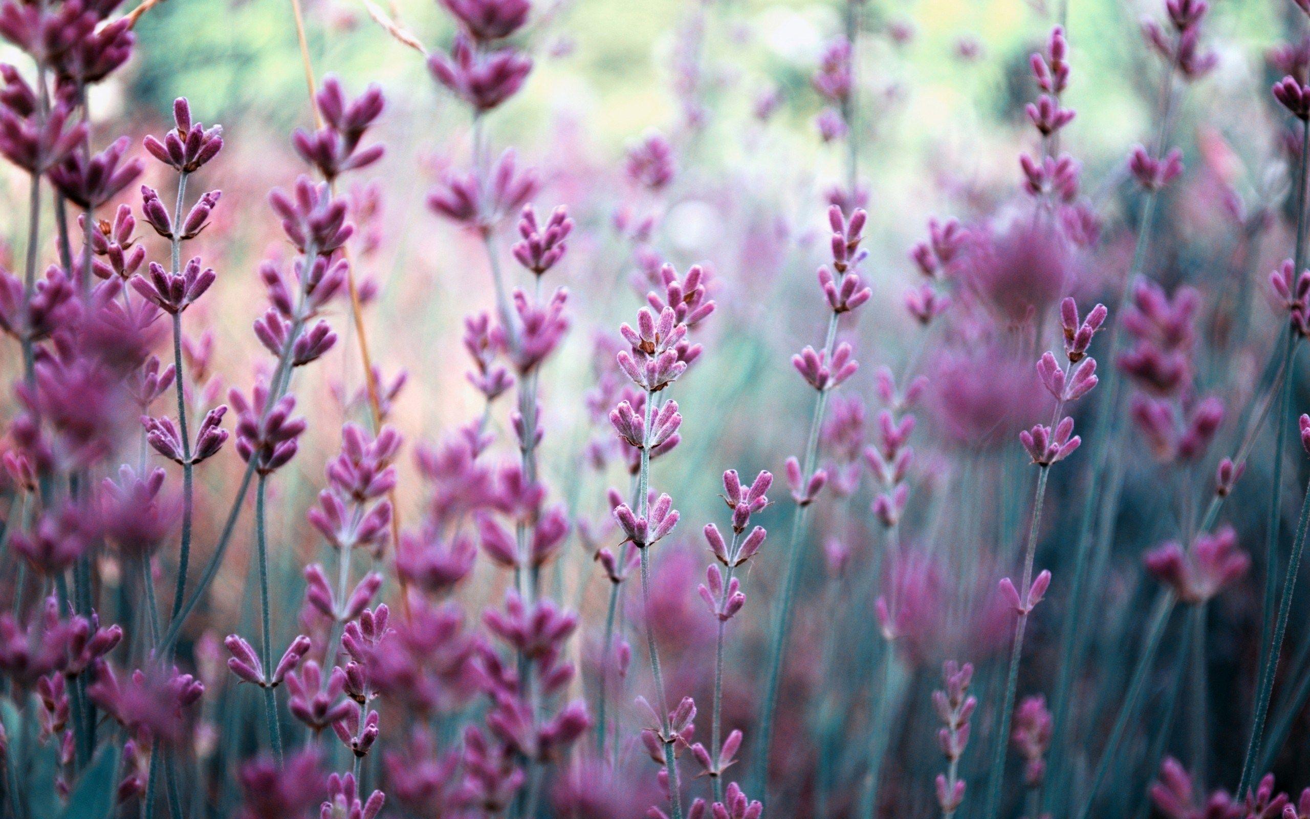 Beautiful Lavender Wallpaper: HD Lavender Mobile Background - http ...