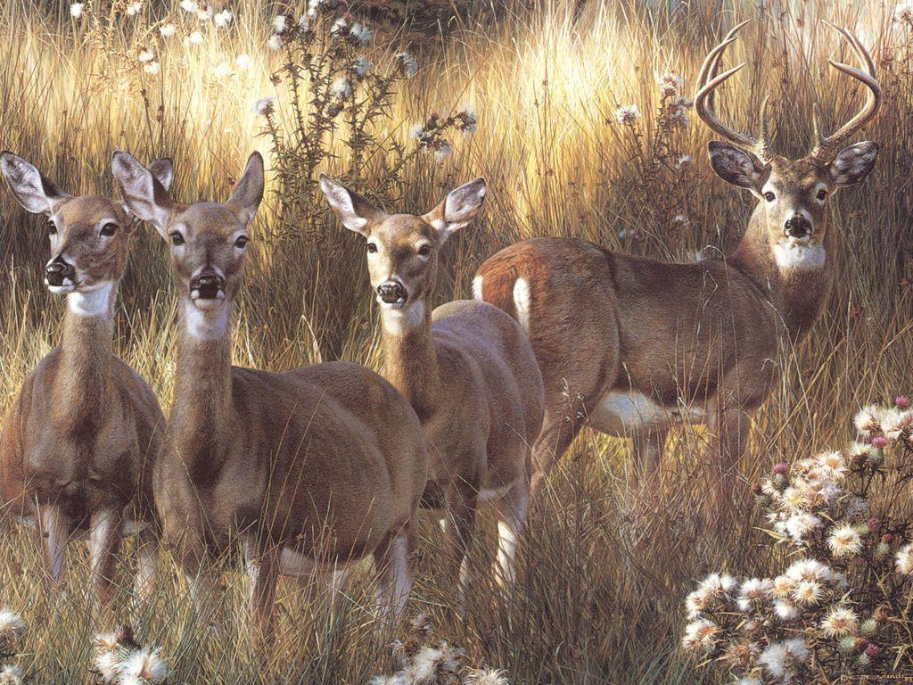 Free Whitetail Deer Screensavers High Definition Wallpapers