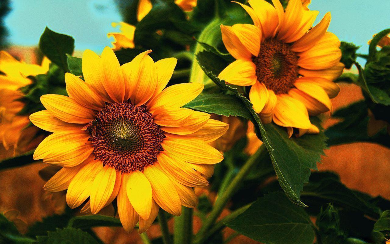 Sunflower Desktop Wallpapers Free - Wallpaper Cave