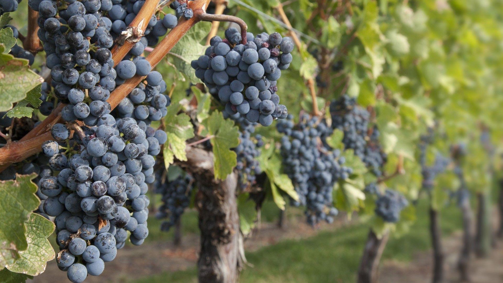 Image result for vineyards wallpaper