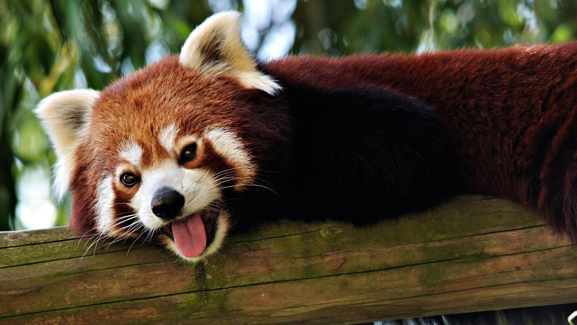 97 Red Panda Wallpapers | Red Panda Backgrounds Page 3