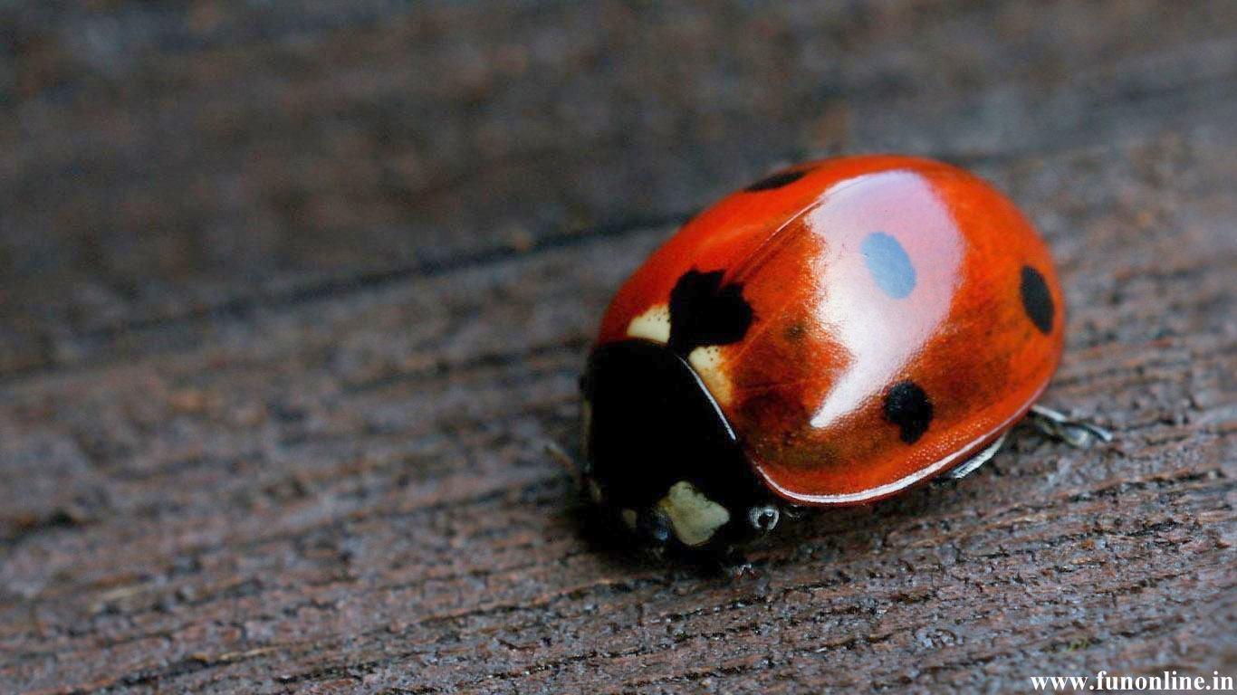 <b>Ladybug</b> On A Daisy <b>HD desktop wallpaper</b> : <b>High Definition</b> ...