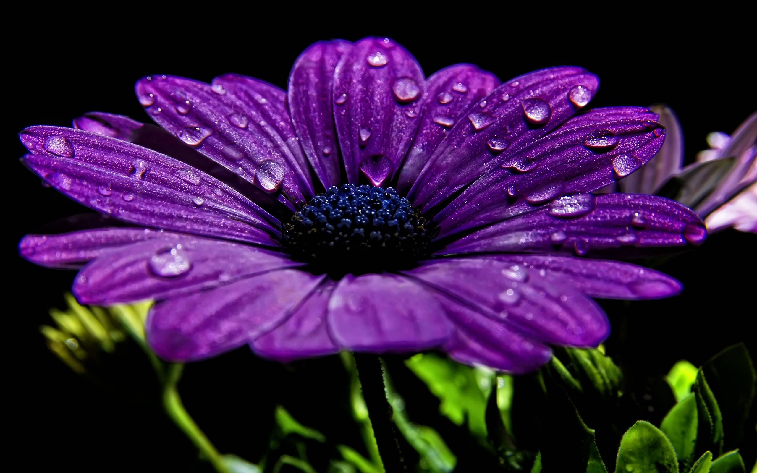 Beautiful Purple Flower With Dew Drops Wallpaper 2014 2015