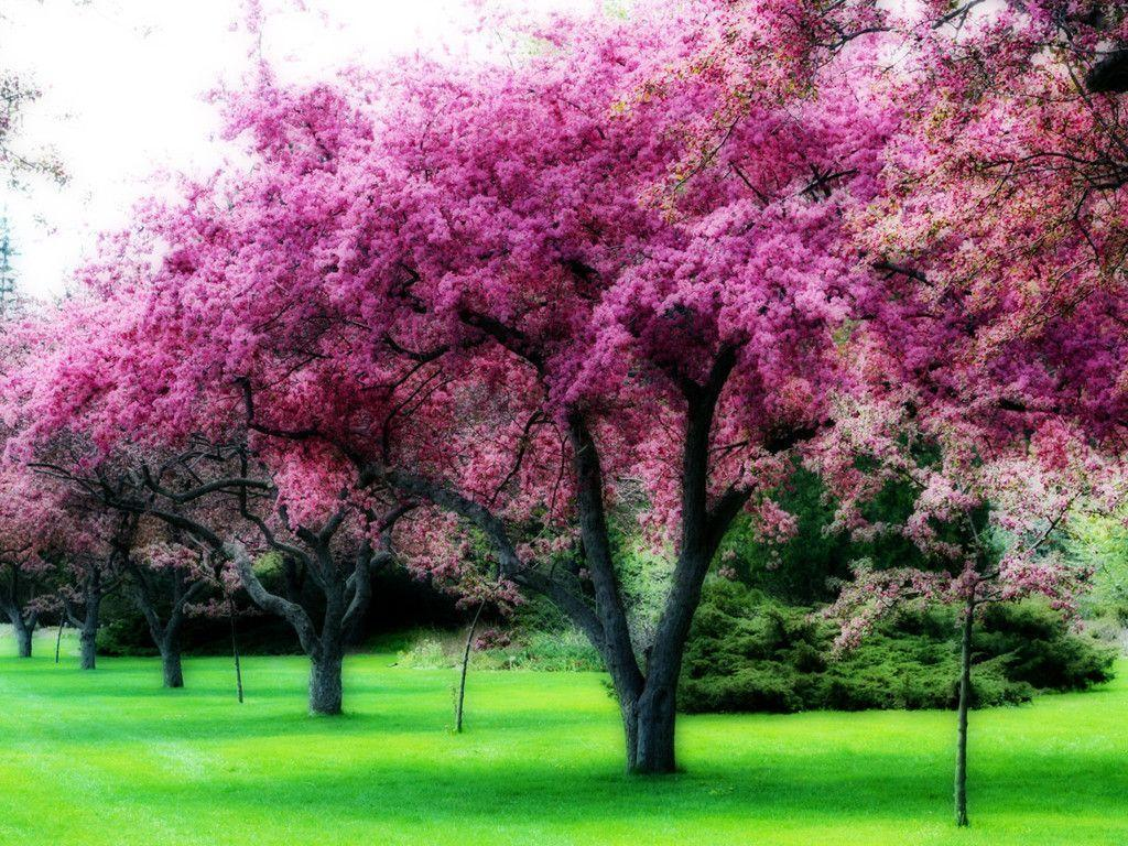 Pink tree wallpapers wallpaper cave for Tree with red flowers