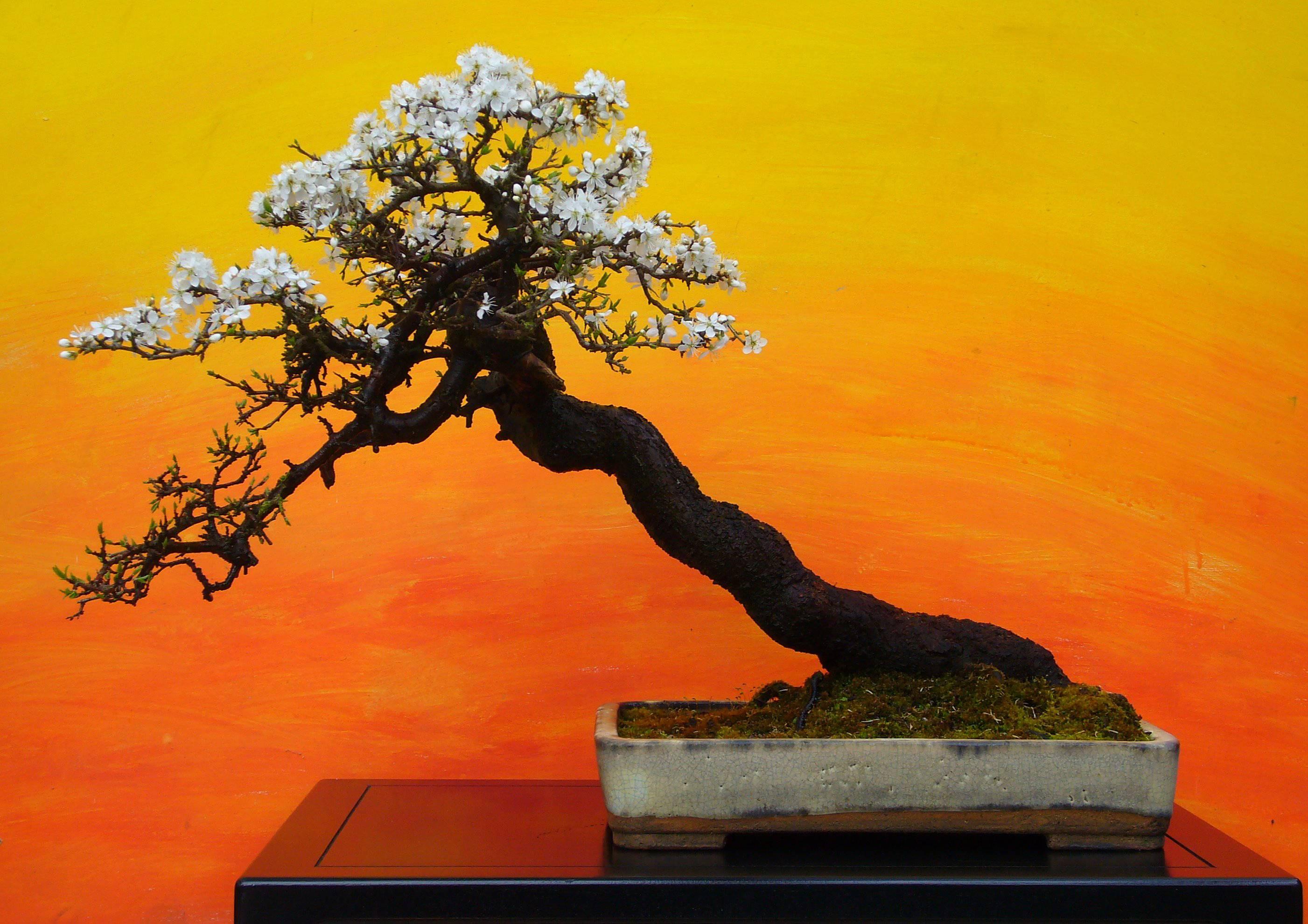 bonsai wallpaper wwwpixsharkcom images galleries