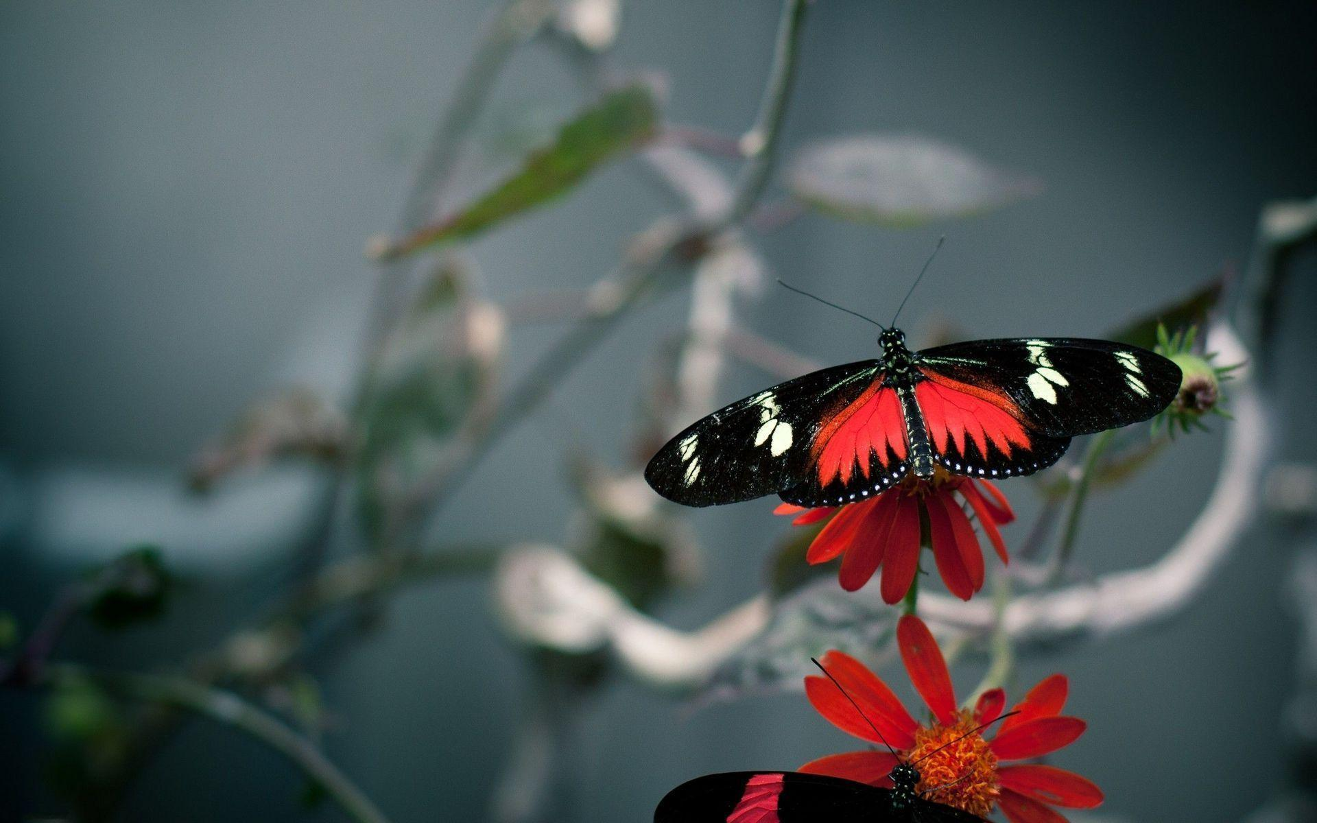 red butterfly wallpapers - photo #9