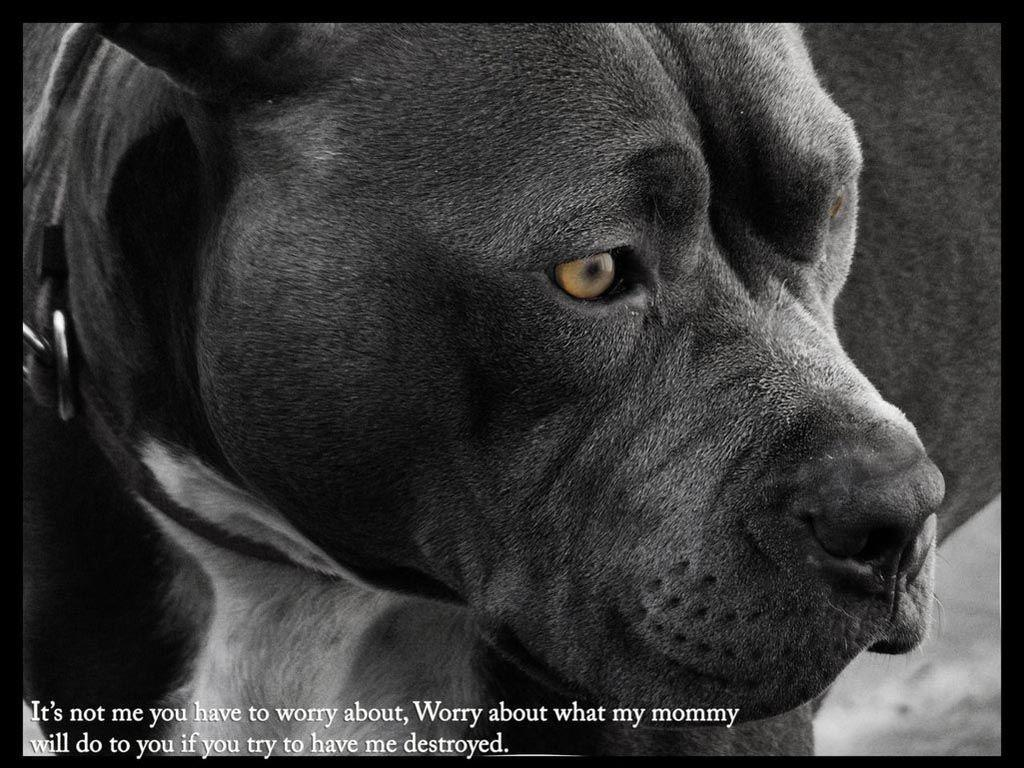 subslogsej: Wallpapers De Pitbulls