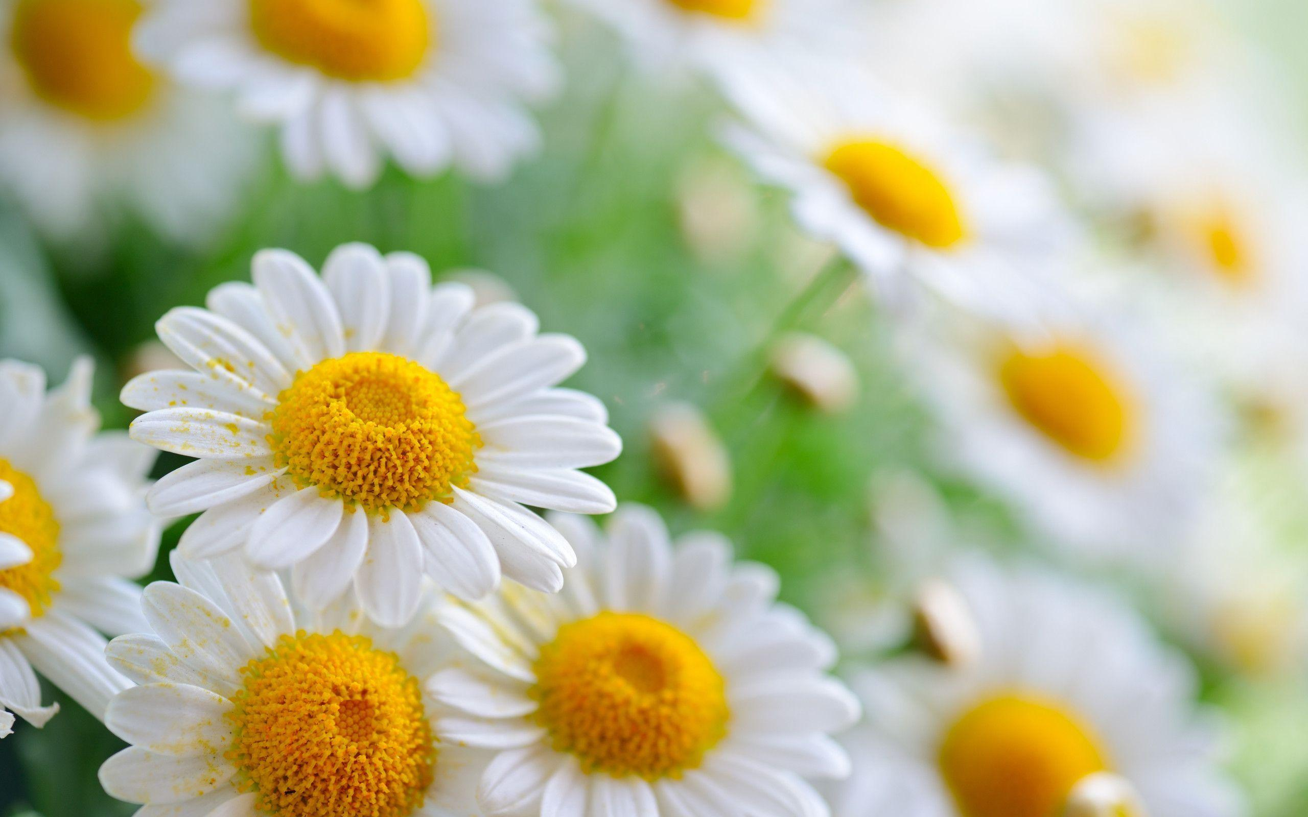 Daisy flower wallpapers wallpaper cave pollen on daisy flower wallpapers 2560x1600 1341177 mightylinksfo